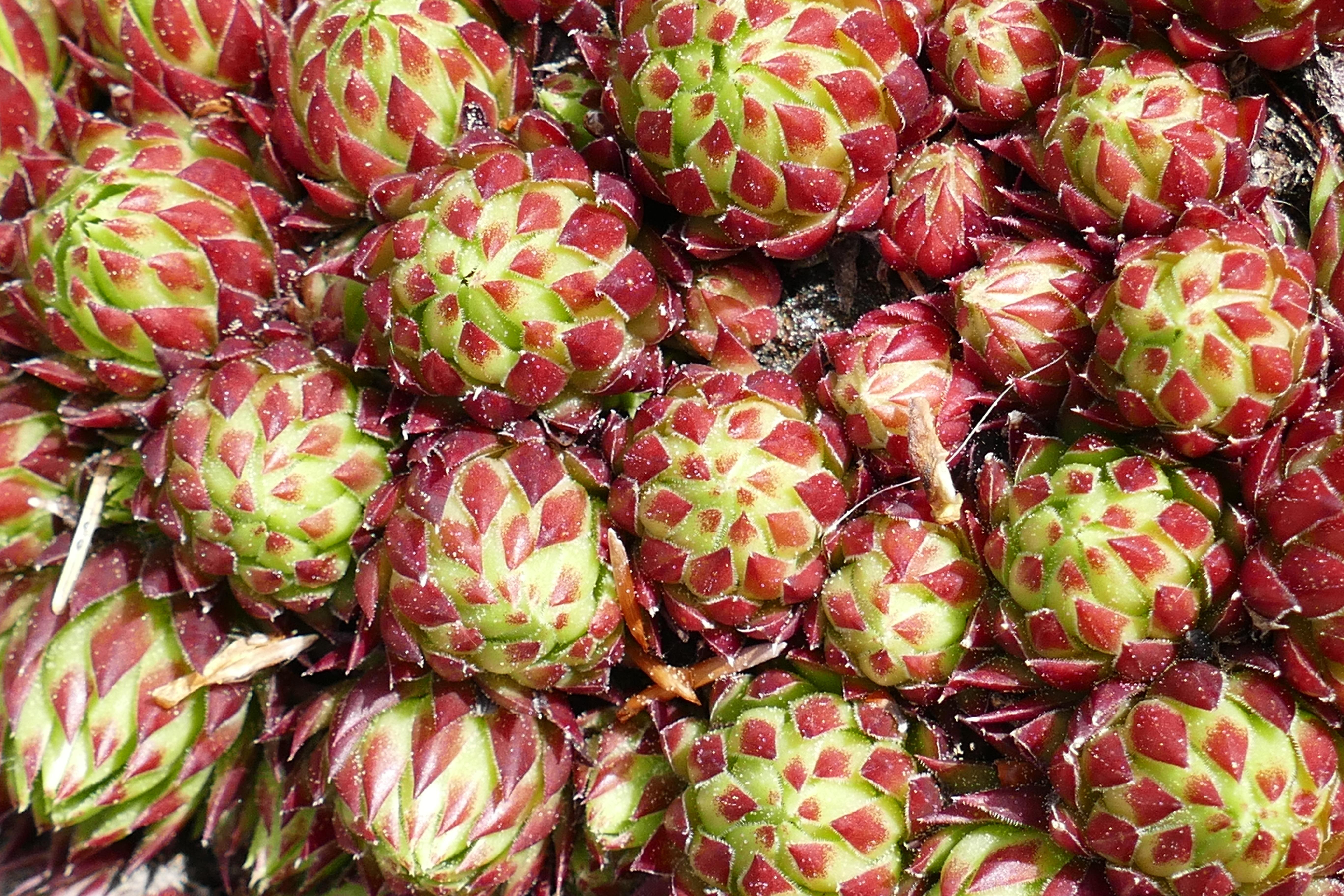 hintergrundbilder : lebensmittel, frucht, kaktus, ananas, blume