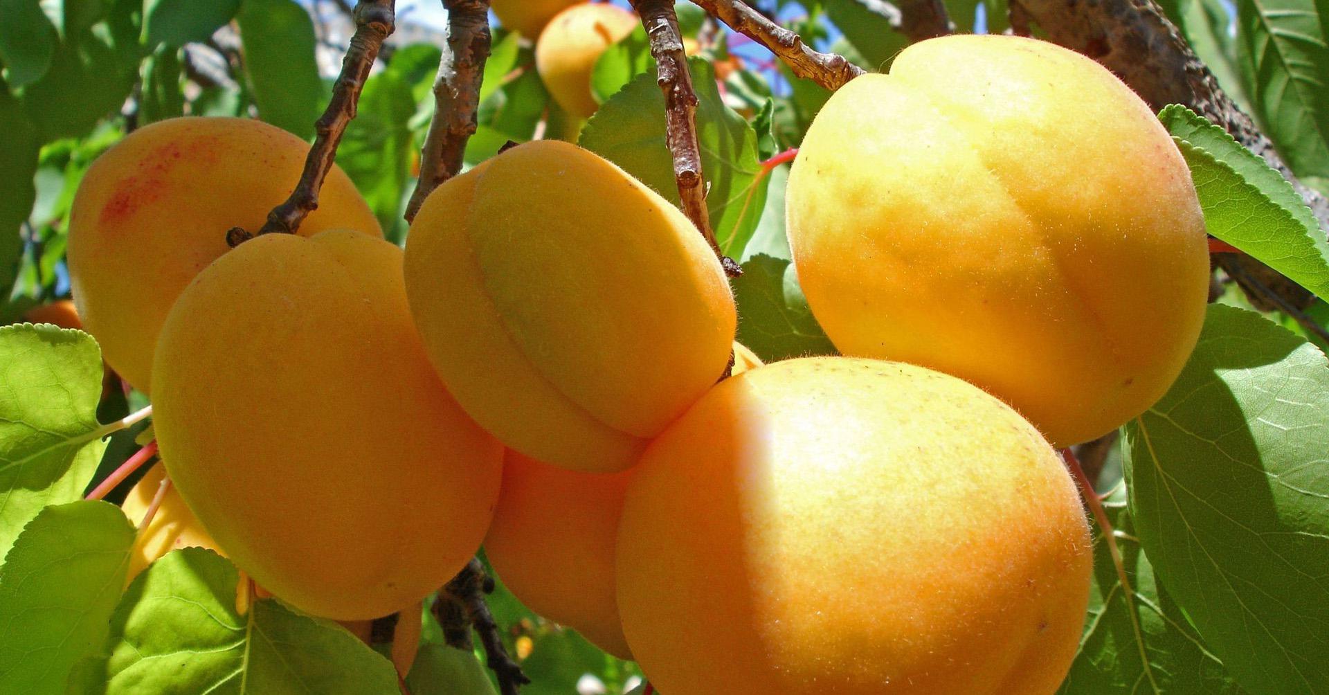 Wallpaper Orange Peach Bokeh Persimmon Citrus Mango Produce Apricot Diospyros Fruit Tree 1920x1004 Px Loquat Prunus Local Food Ebony Trees