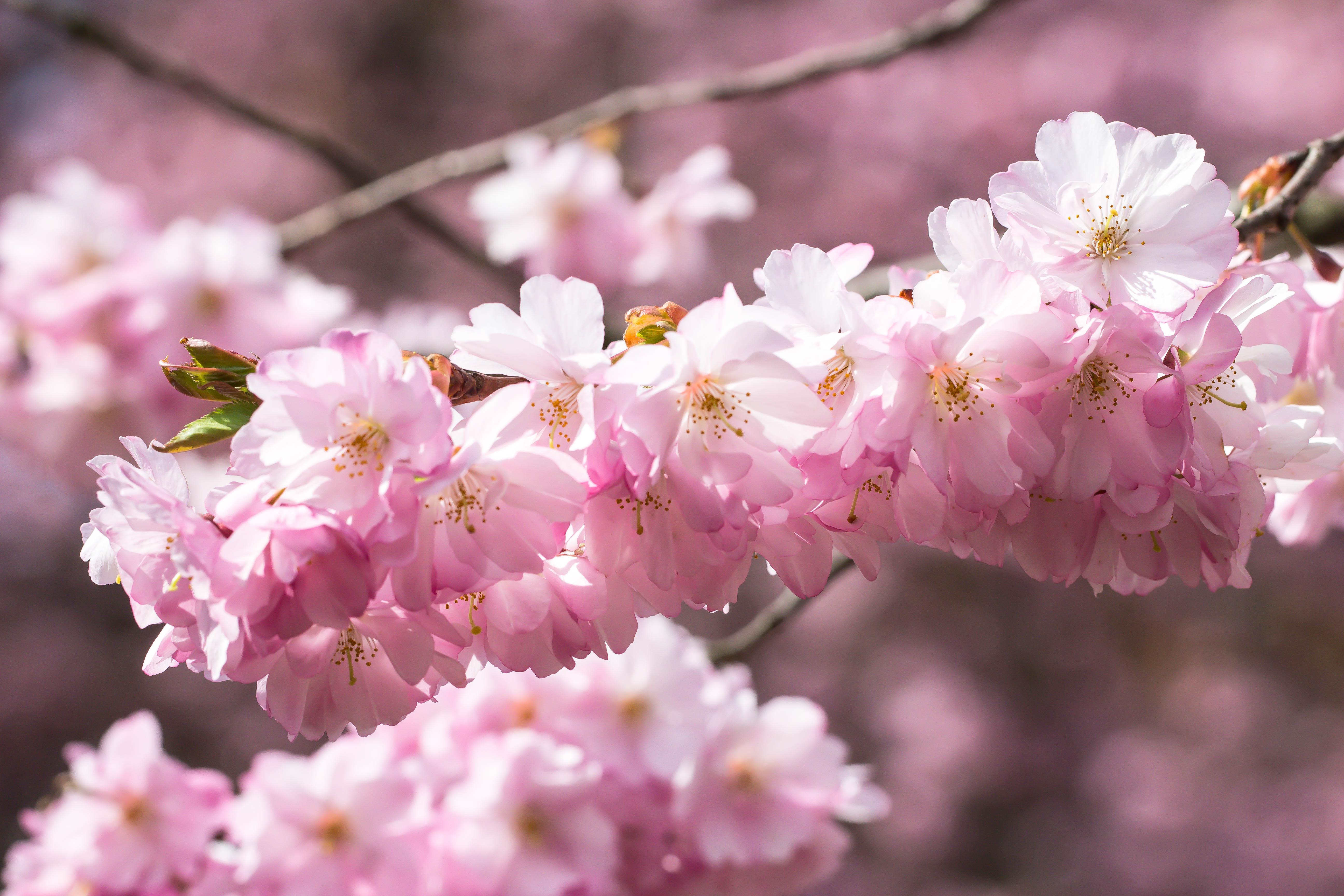 wallpaper makanan taman cabang buah bunga sakura mekar berwarna merah muda musim semi menanam ceri flora blomma v r alnarp daun bunga