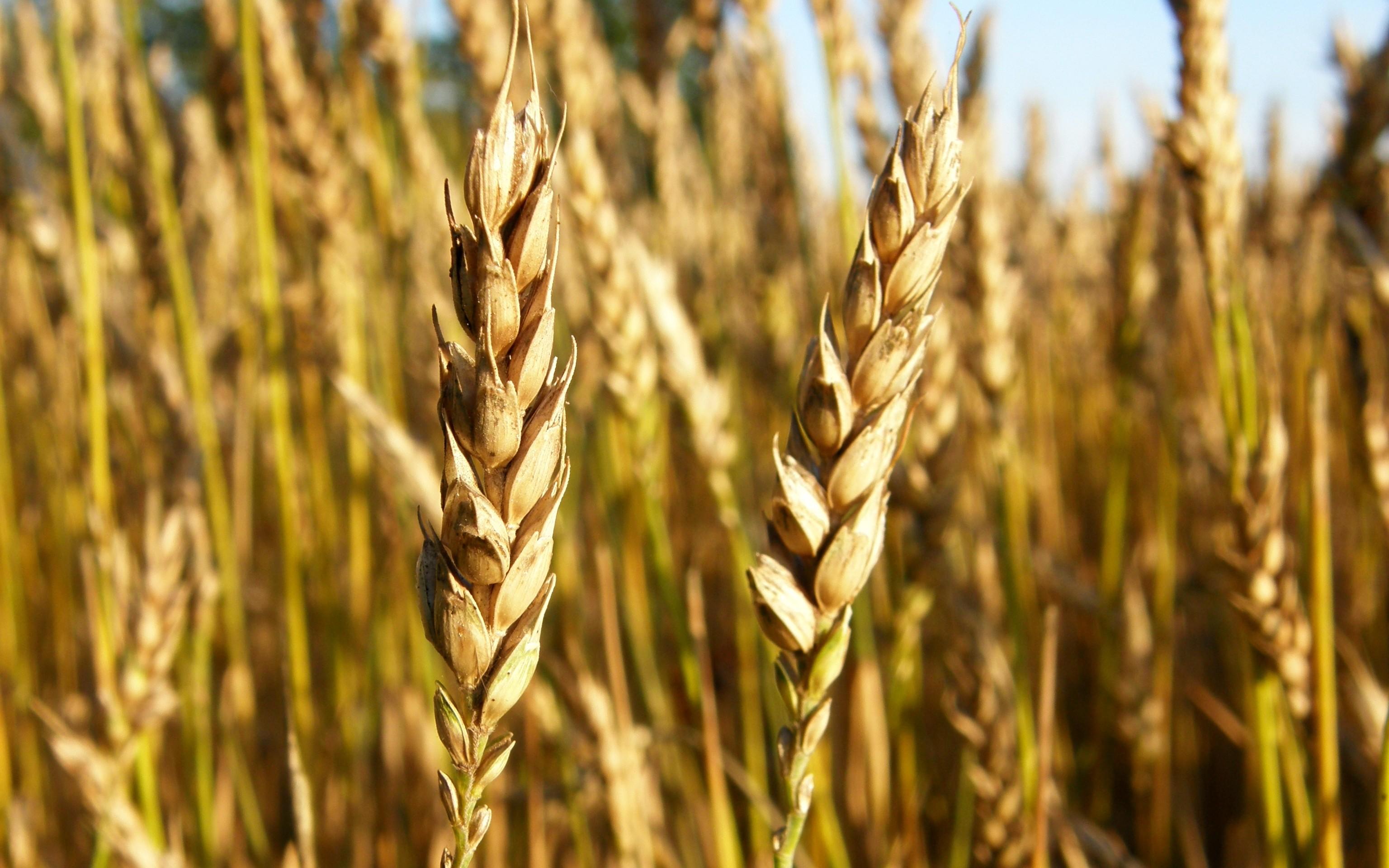тесто фото ячменя пшеницы ржи если приложить немного