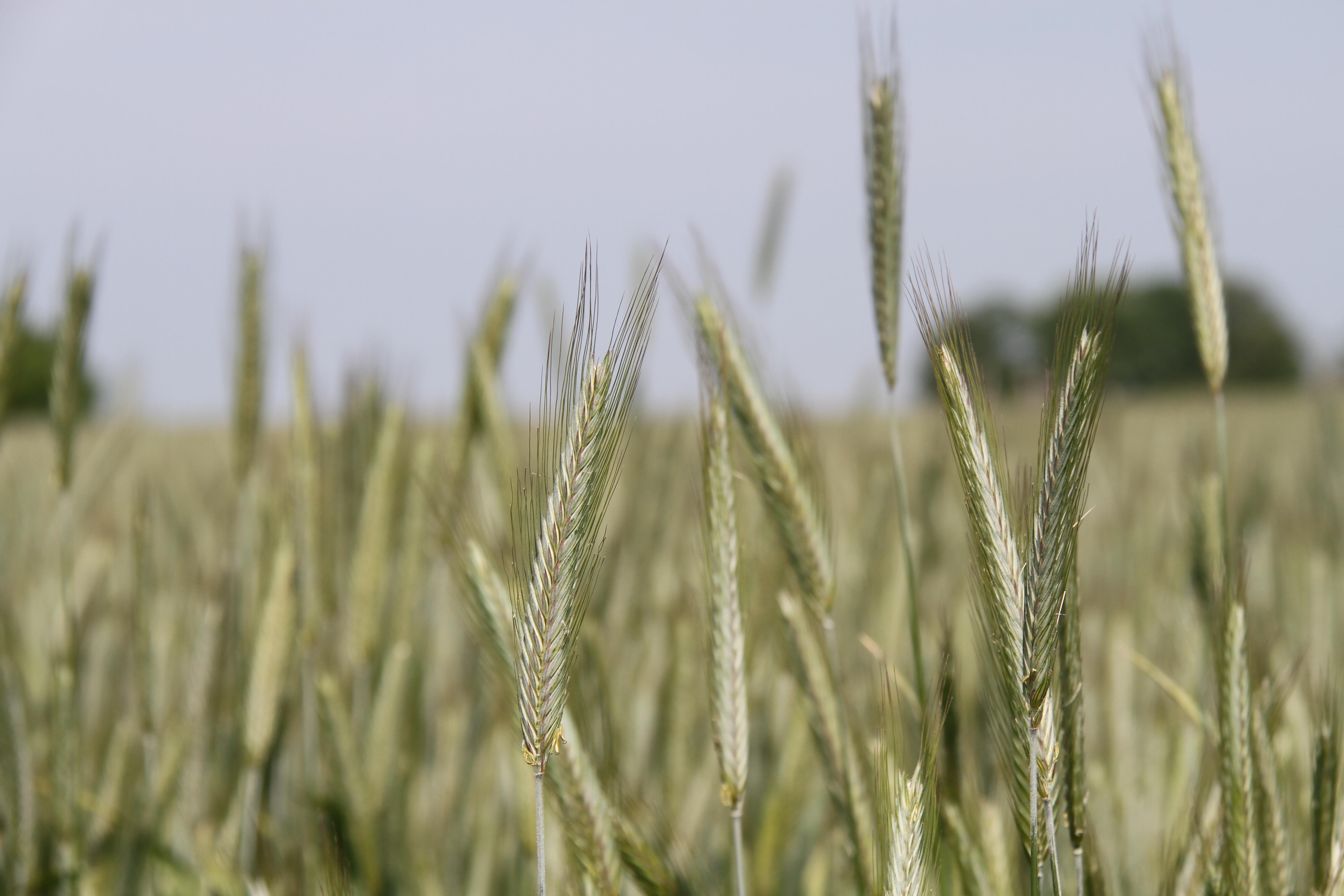 гуннов фото ячменя пшеницы ржи этом фото только