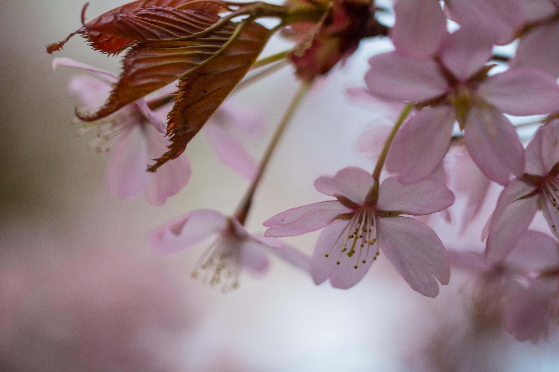 デスクトップ壁紙 フード ブランチ 桜の花 ピンク 春 葉 工場
