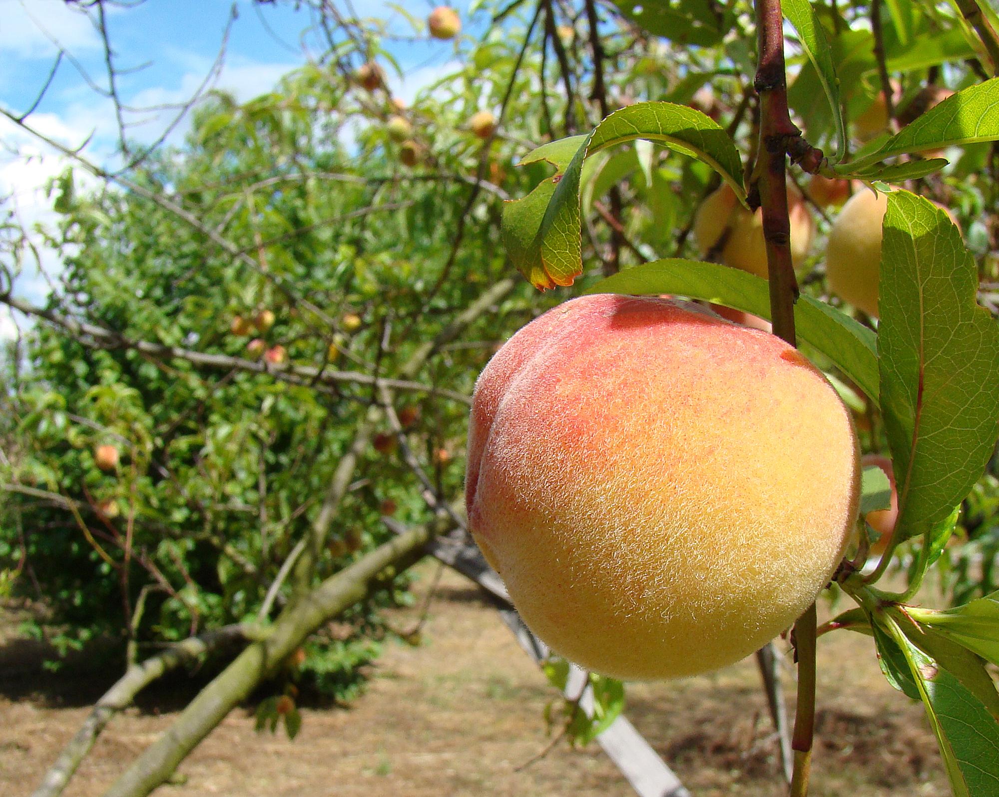 Hintergrundbilder : Lebensmittel, Natur, Frucht, Grün, Pfirsich ...