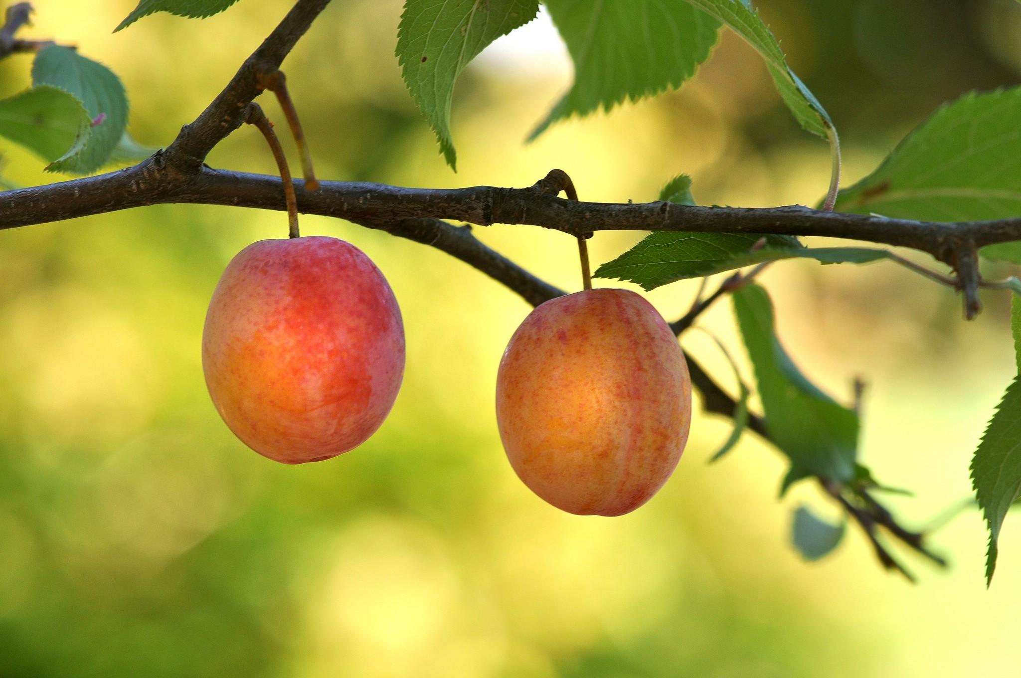 для картинка ветка абрикос день кузьмы демьяна