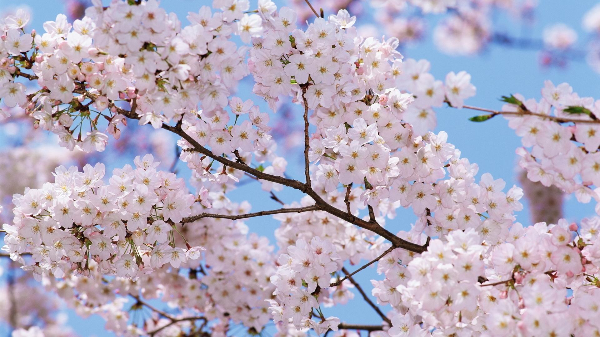 Sfondi cibo cielo ramo fiore di ciliegio fiorire for Pianta di ciliegio