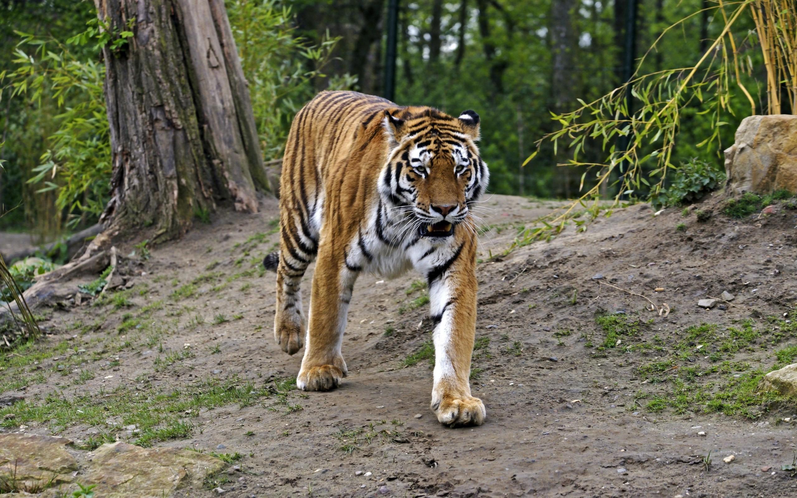 Wallpaper : forest, animals, grass, tiger, wildlife