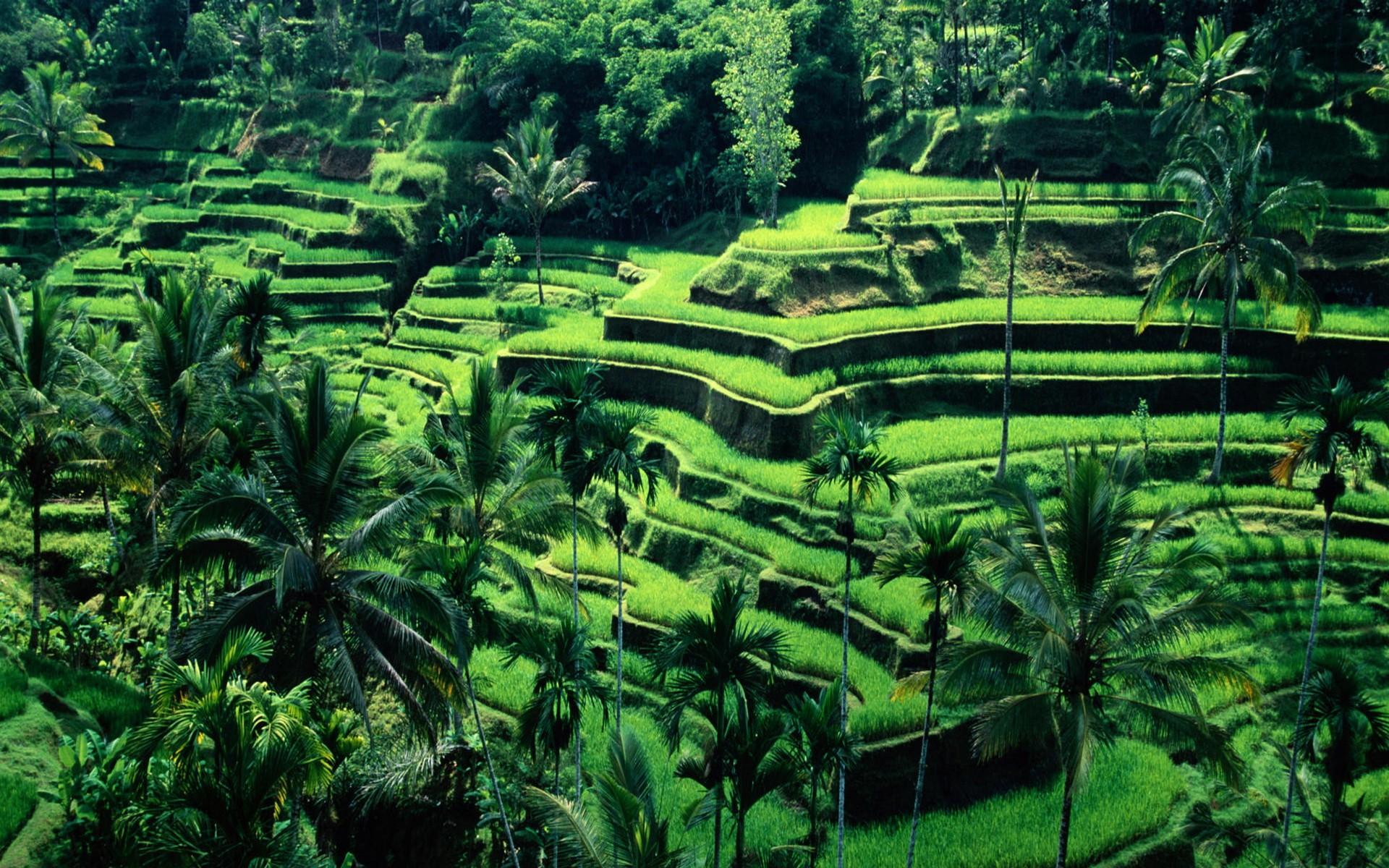 Fondos De Pantalla Verde Selva Bali Indonesia Campo En
