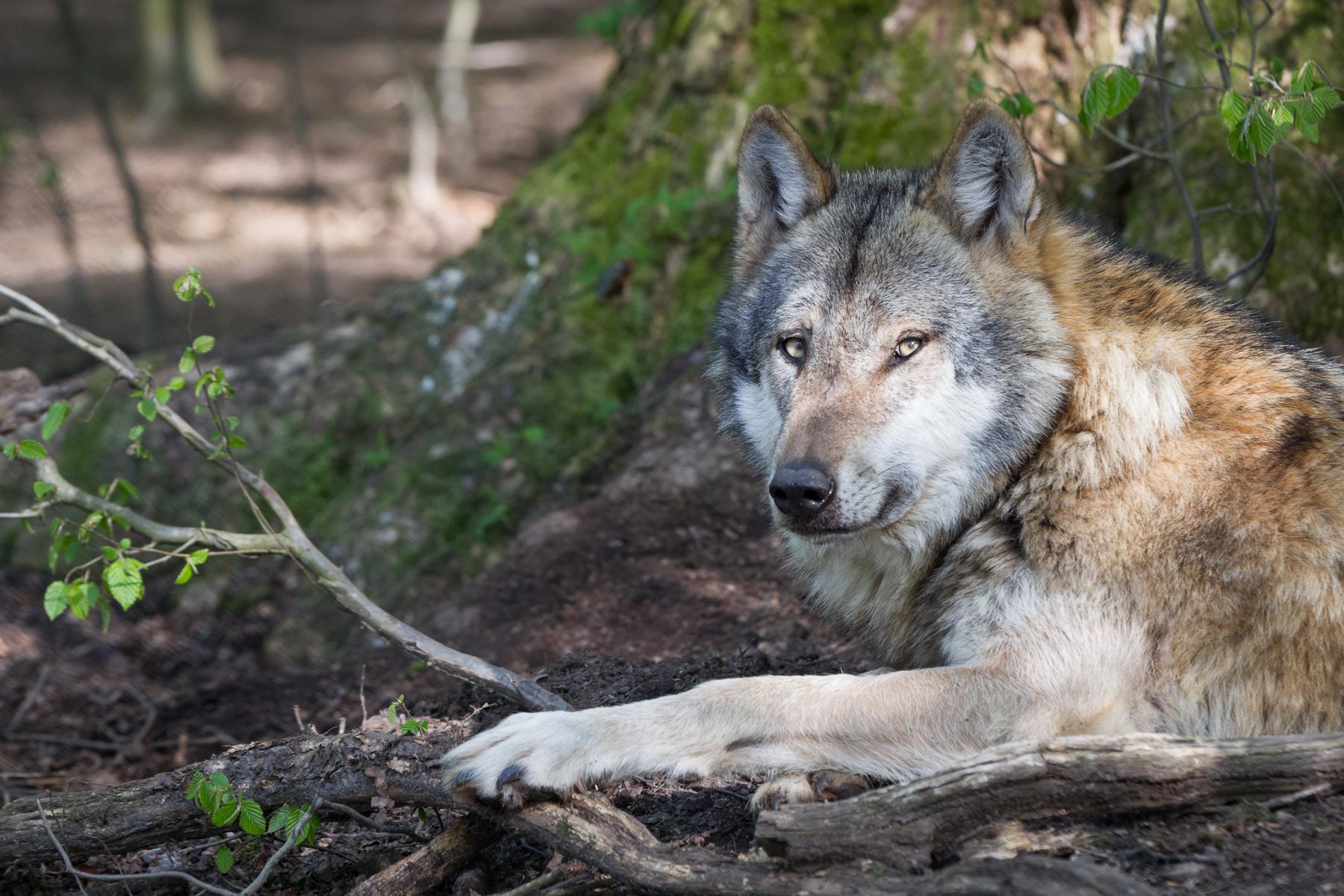 пожалуйста фотографии с волками ручном фокусе