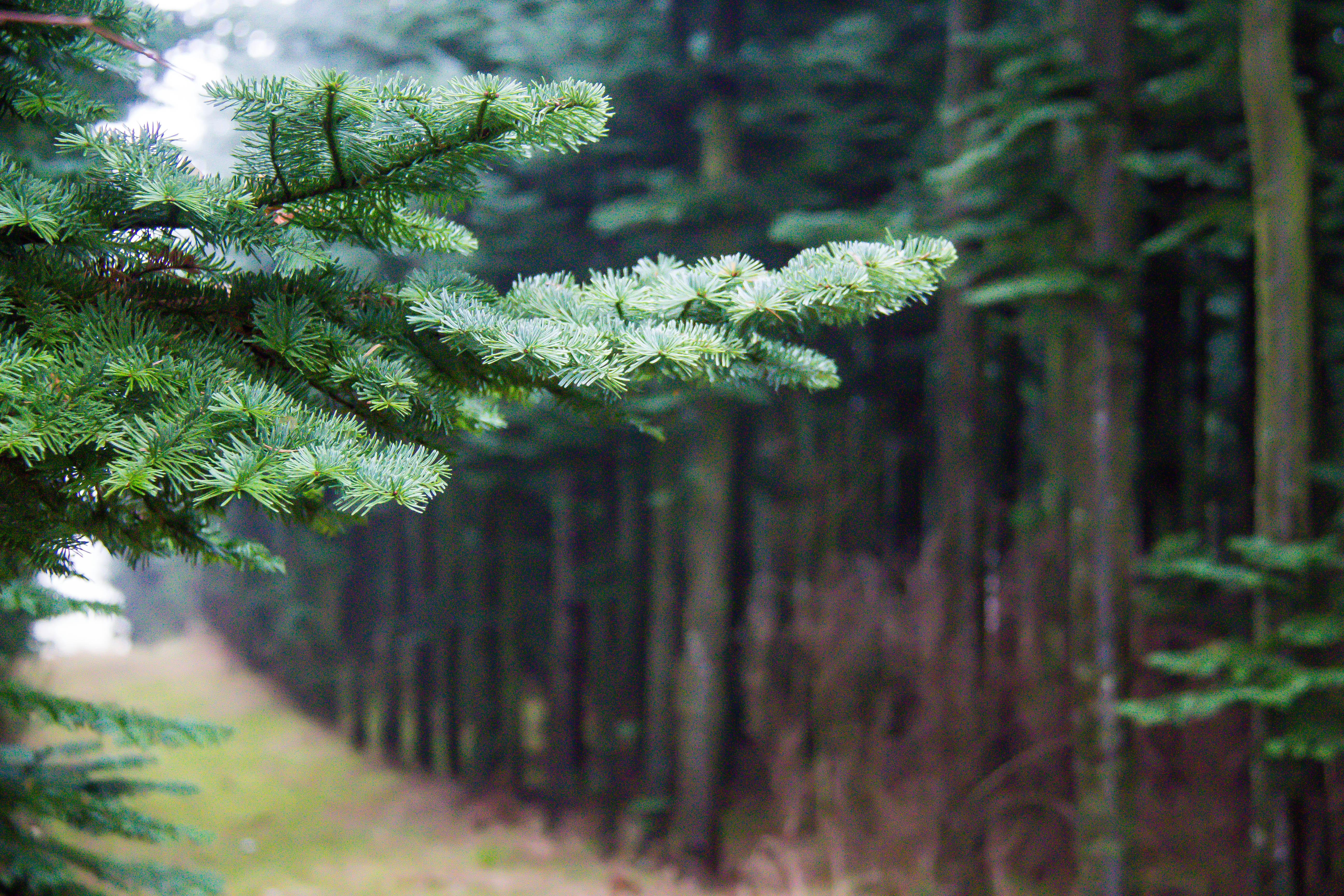 правильной картинки леса с елями соснами шаронова