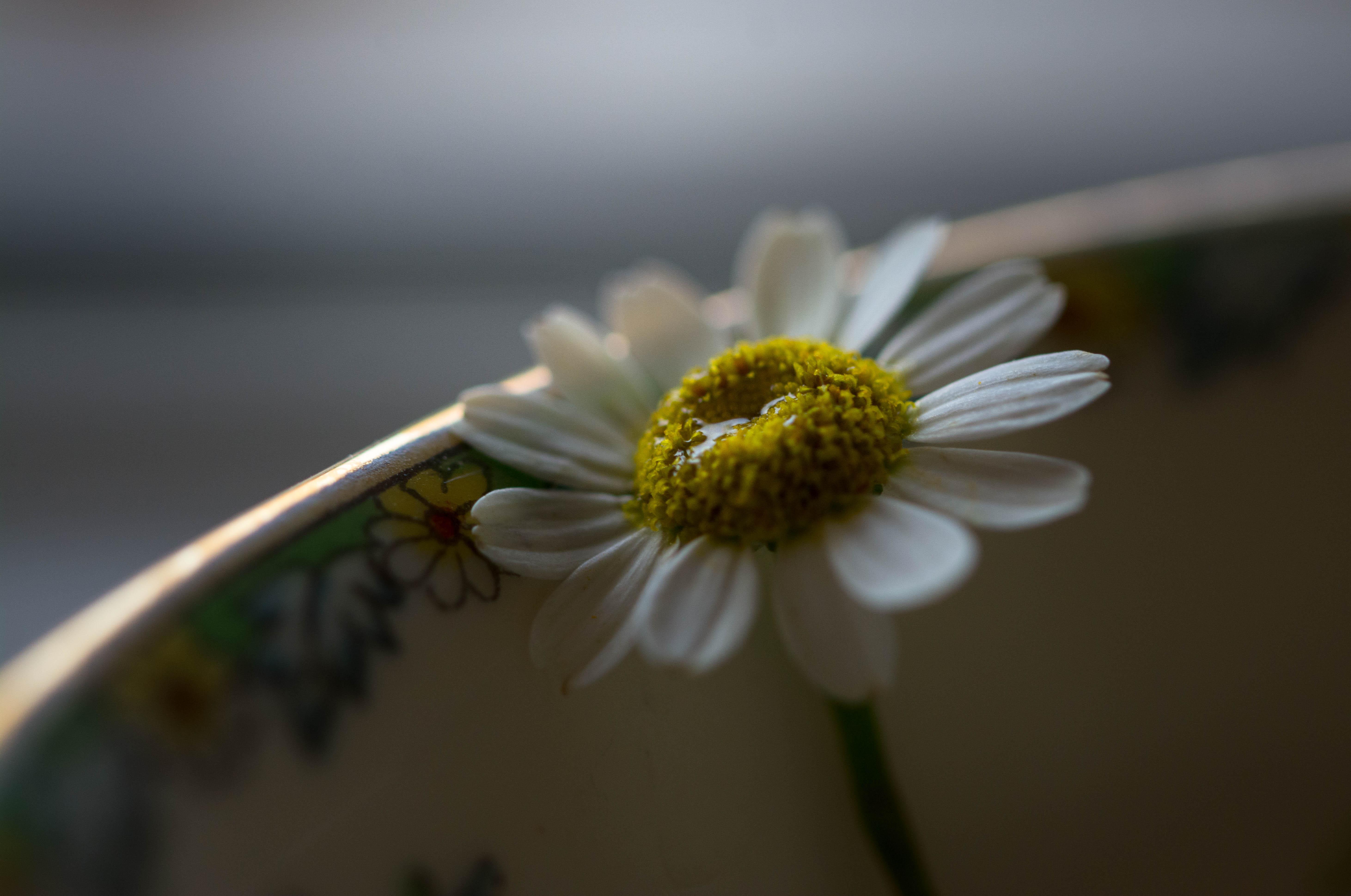 Masaüstü Kimsesiz Papatya Tek çiçek Gözyaşları Ağlamak özlem
