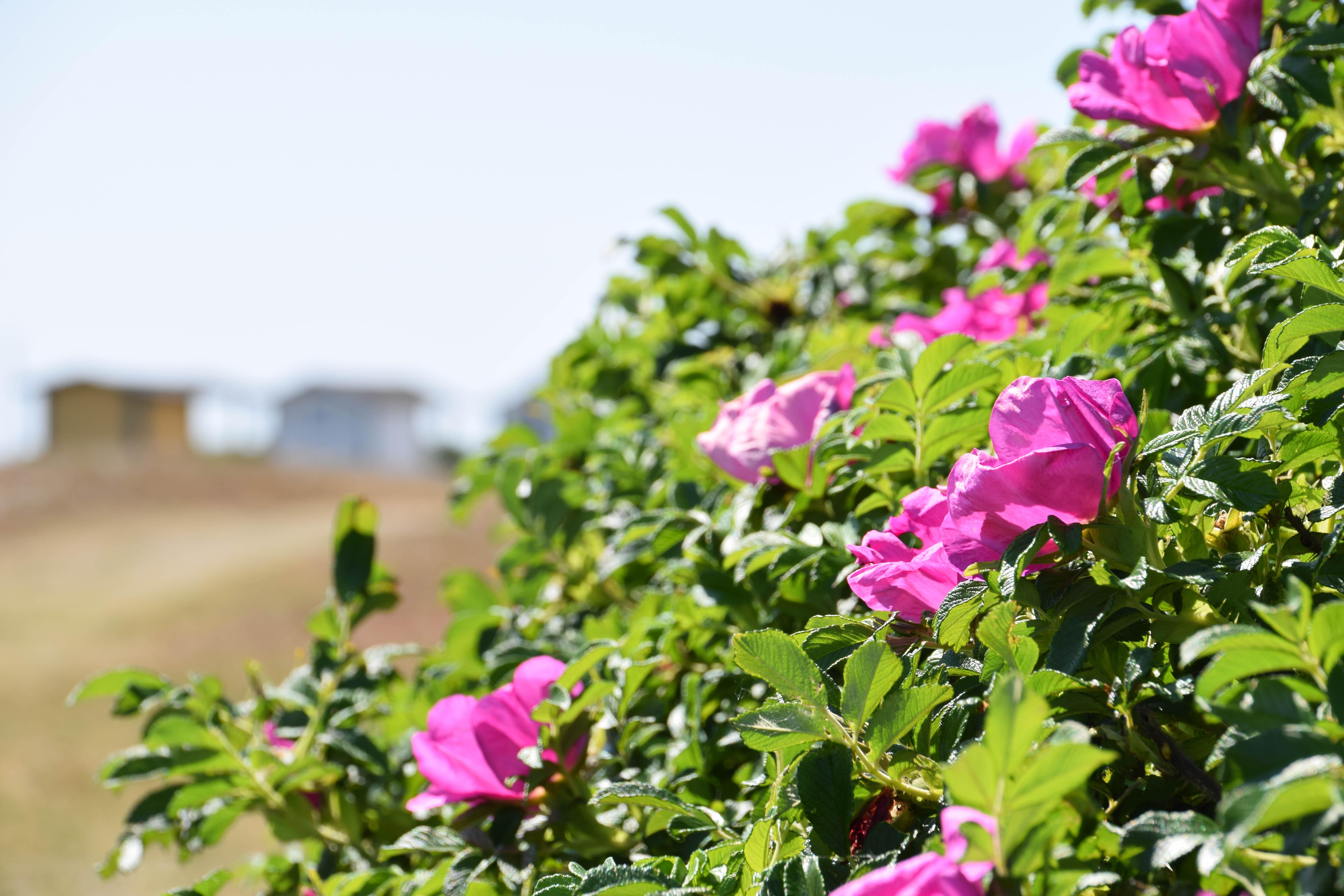 Baggrunde : have, natur, strand, Rose, blomst, Sverige, Europa ...