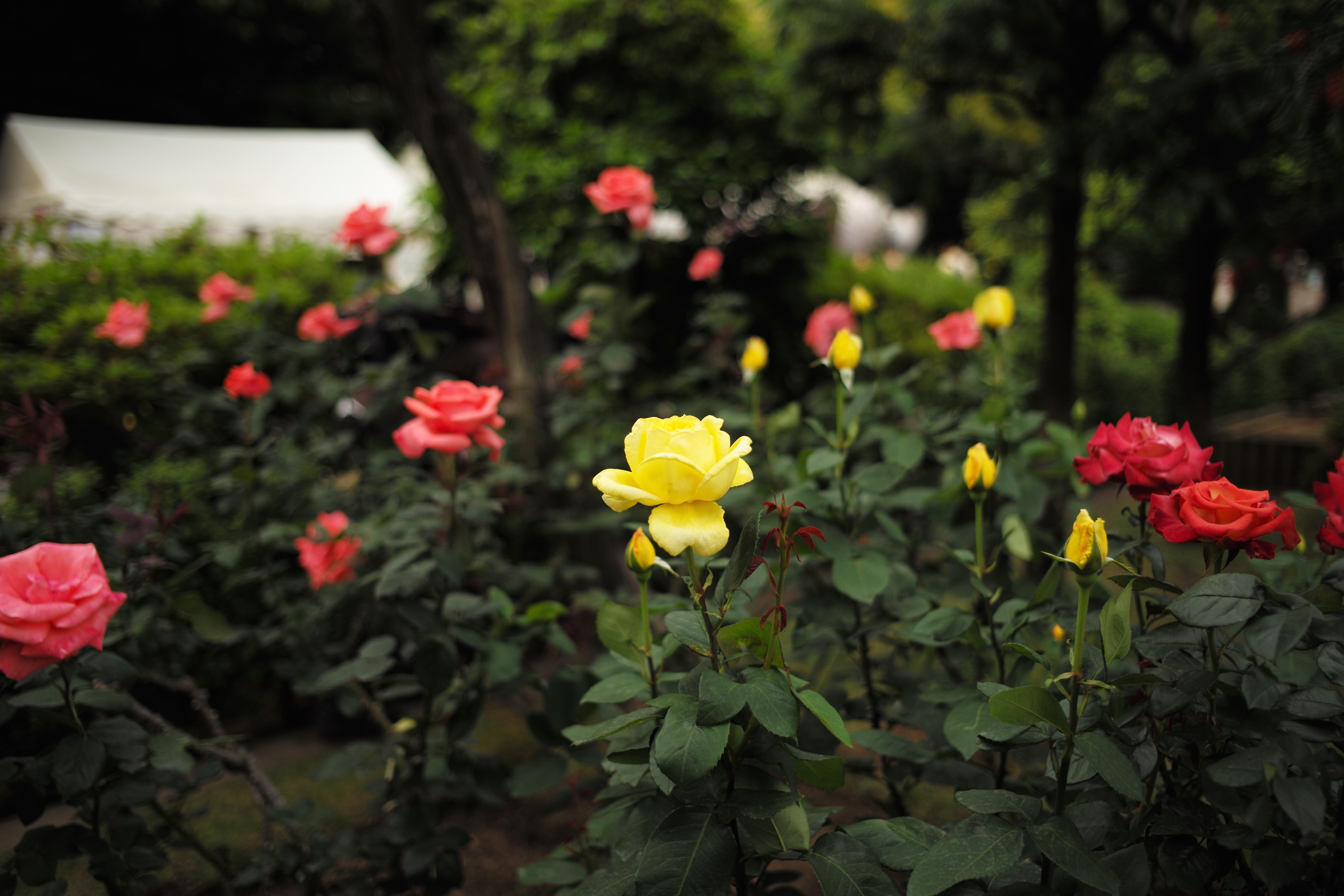 fondos de pantalla rosa leica tokio metro flor flora