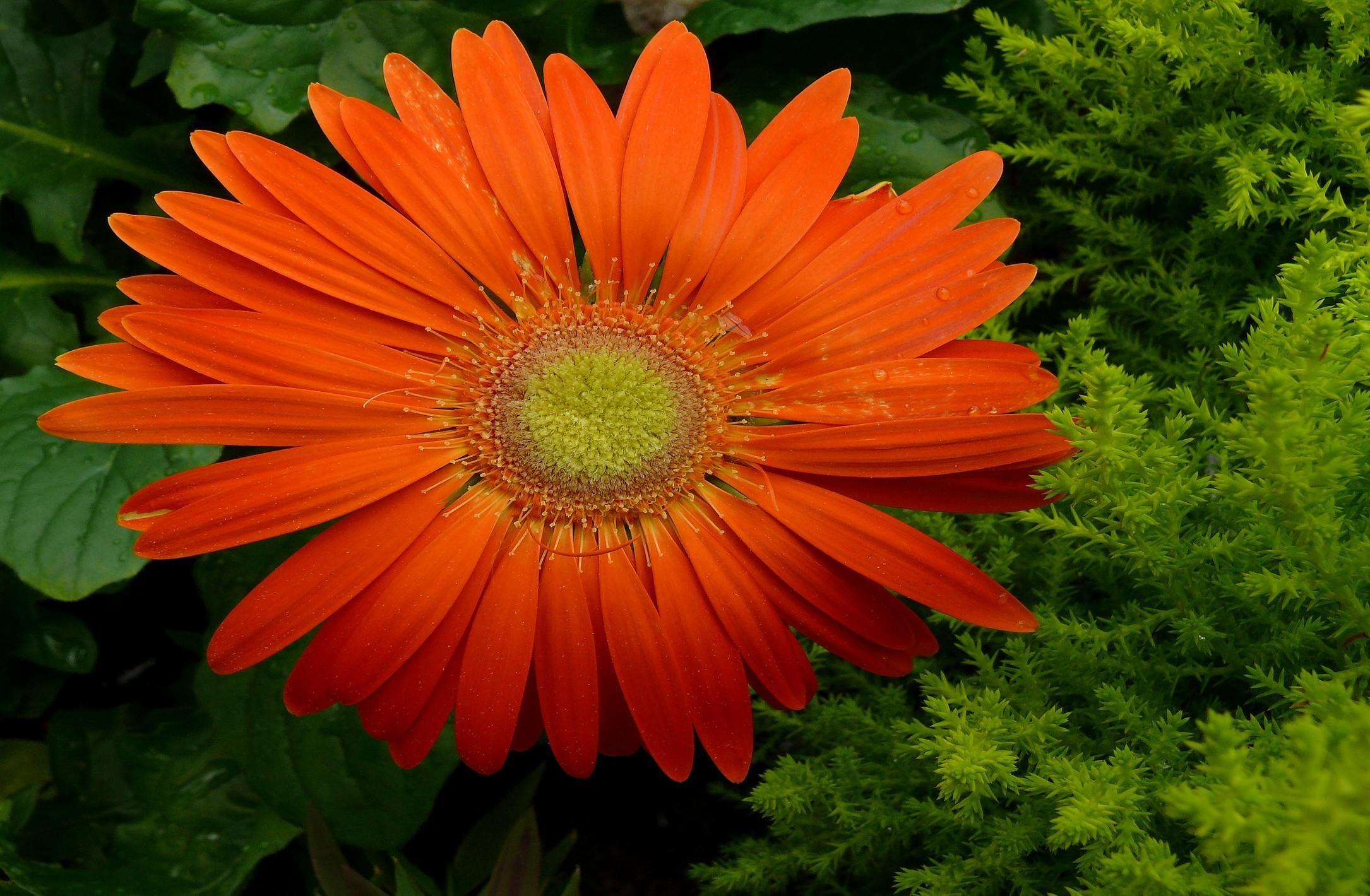 デスクトップ壁紙 ガーベラ 花弁 滴 新鮮な 閉じる 2170x1420
