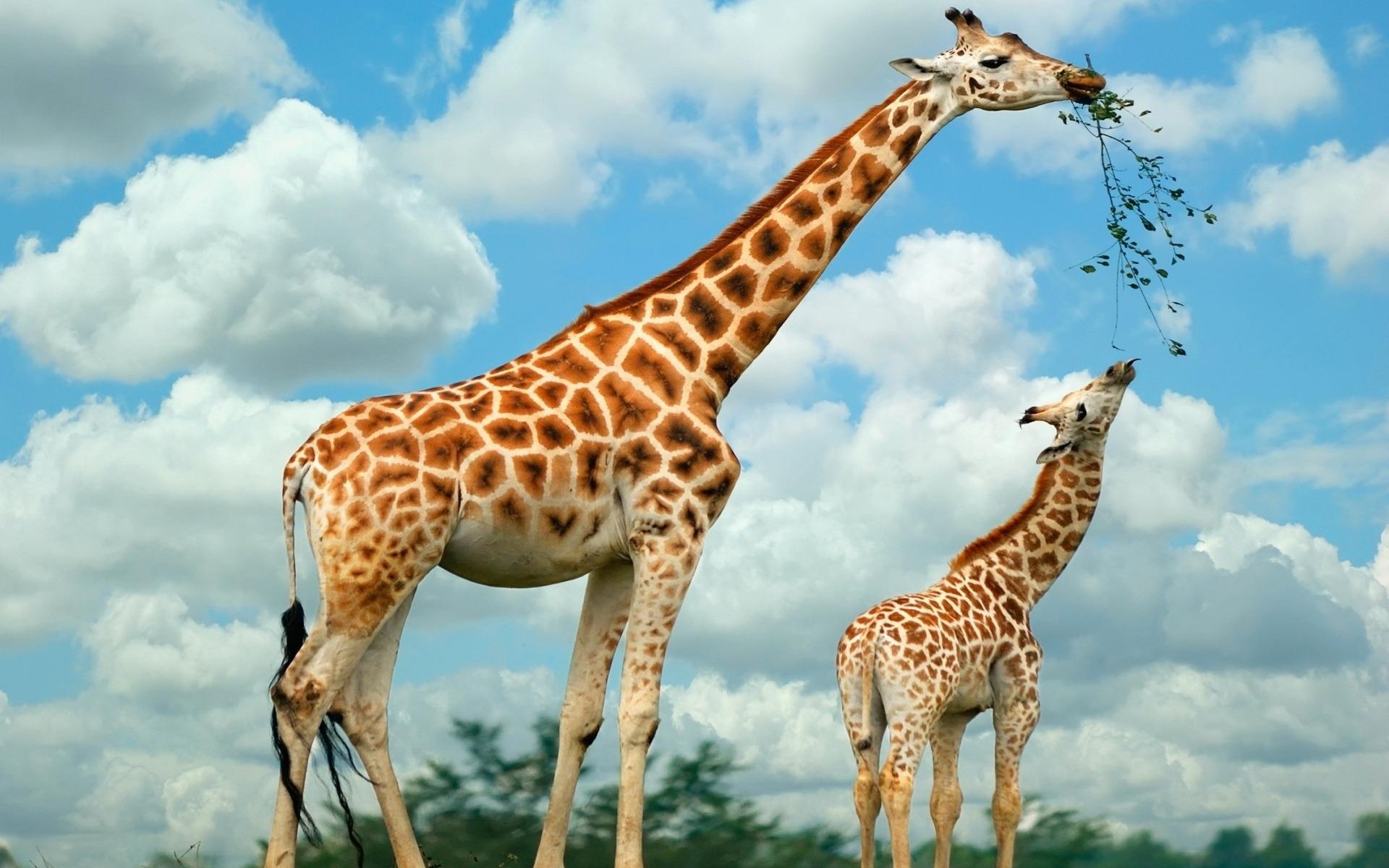 красивые жирафики картинки даже прямо