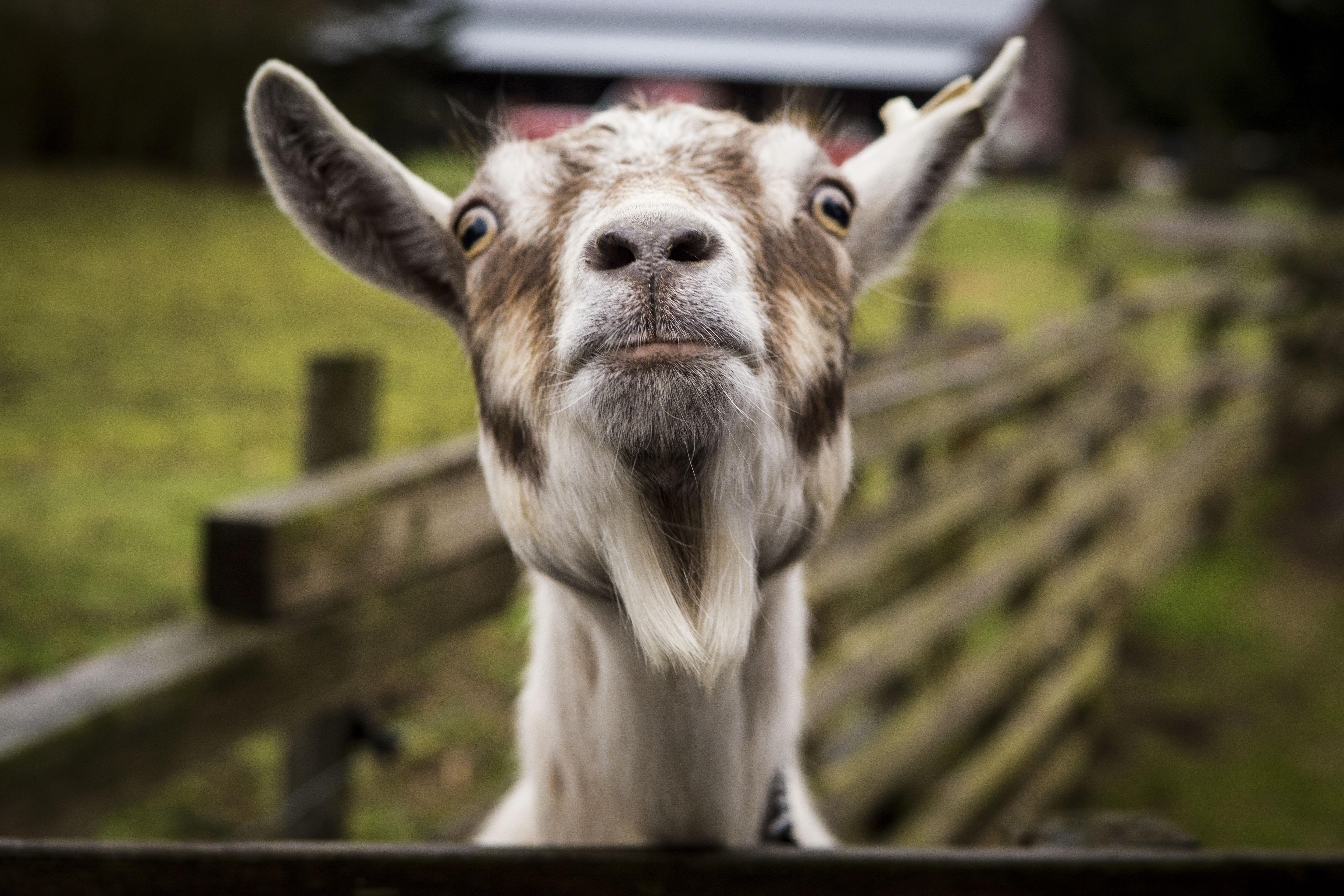 Fond d'écran : chèvre, museau, drôle 4999x3333 - 4kWallpaper - 1189300 - Fond d'écran - WallHere