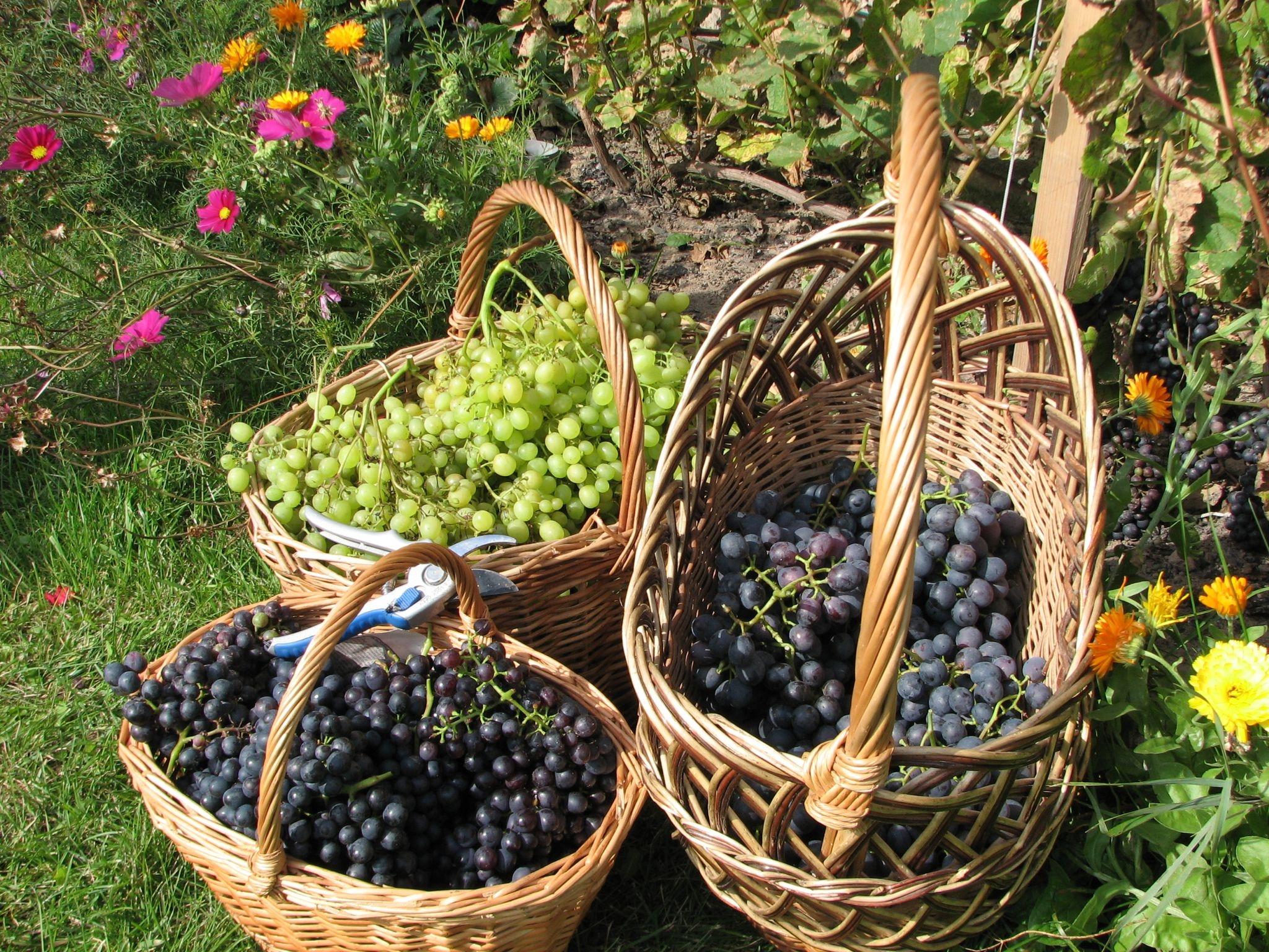 Виноградный сад в картинках