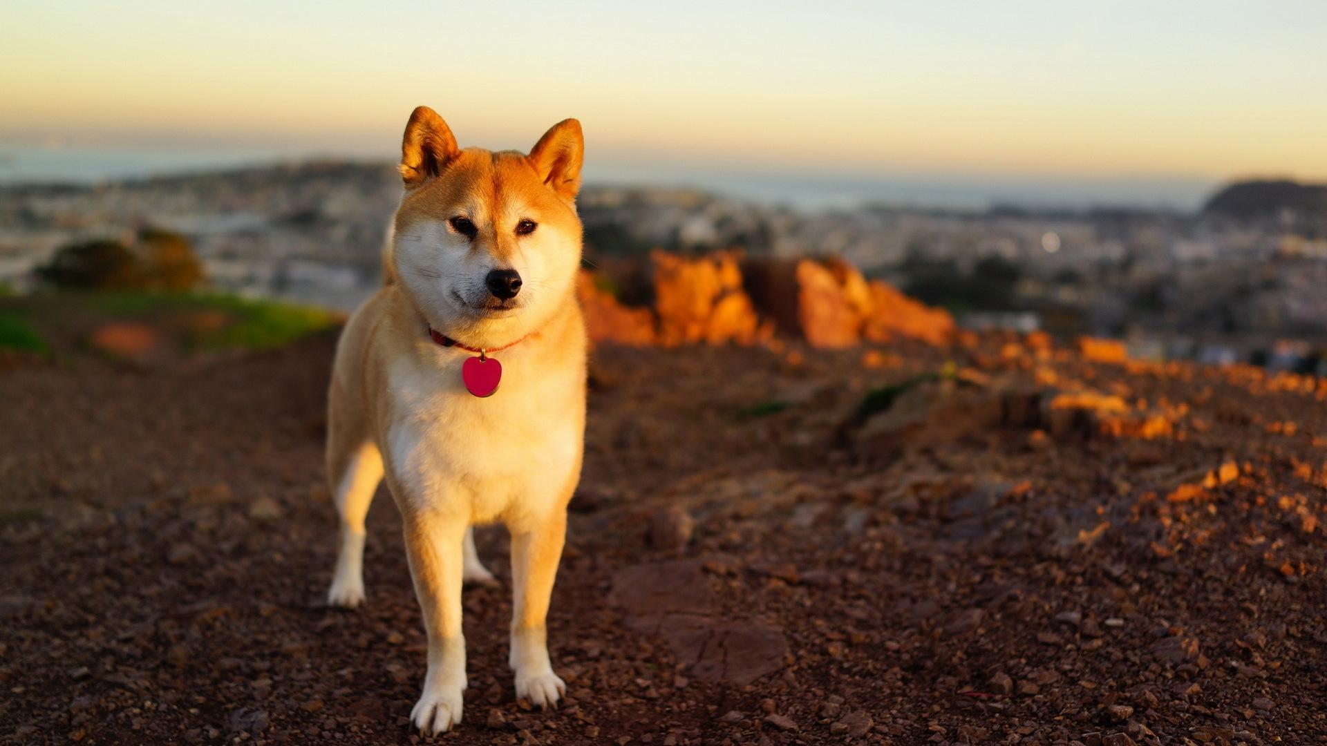 デスクトップ壁紙 草 歩く シーズン 脊椎動物 哺乳類のような犬