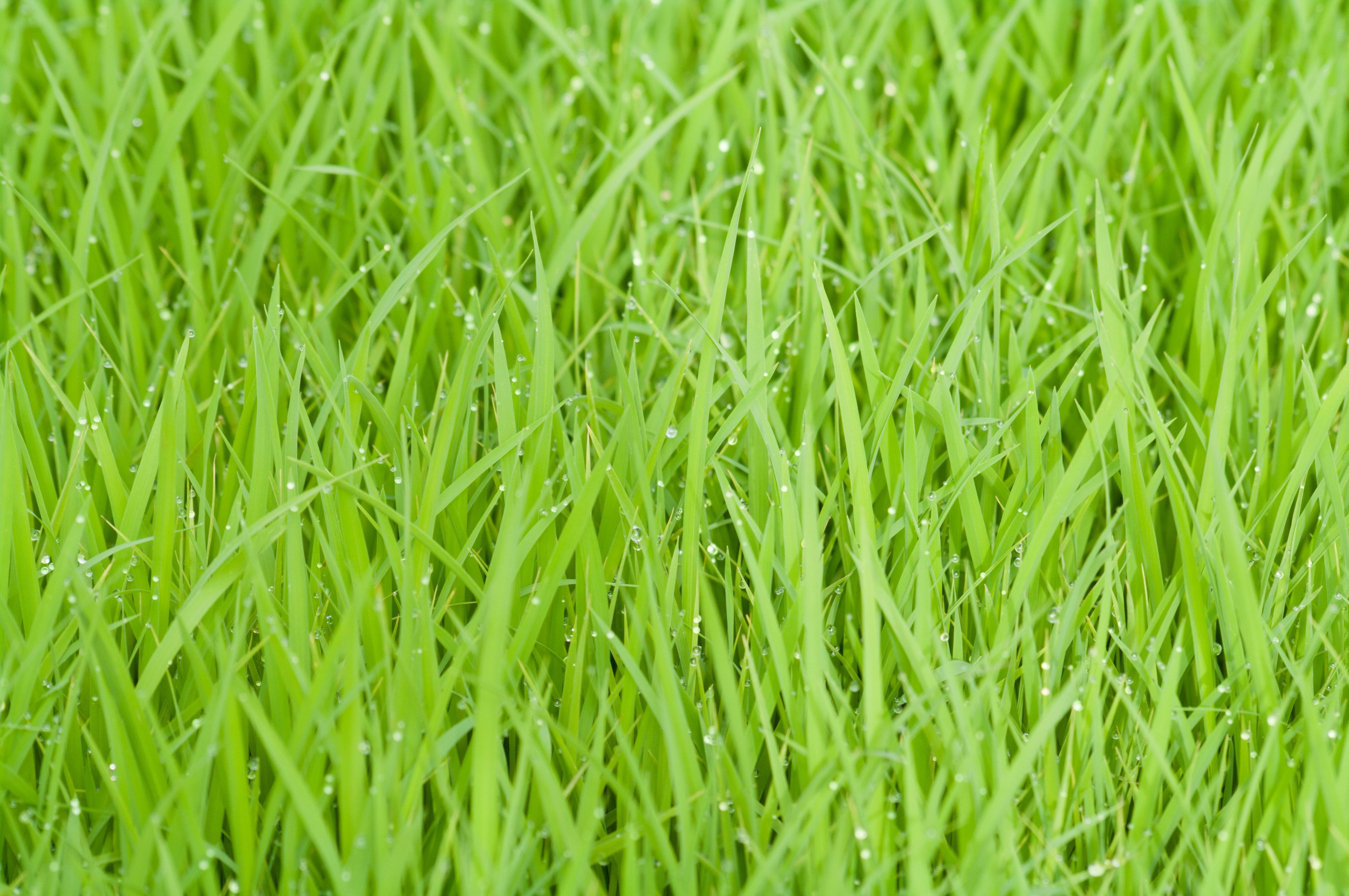 К чему снится рисовое поле