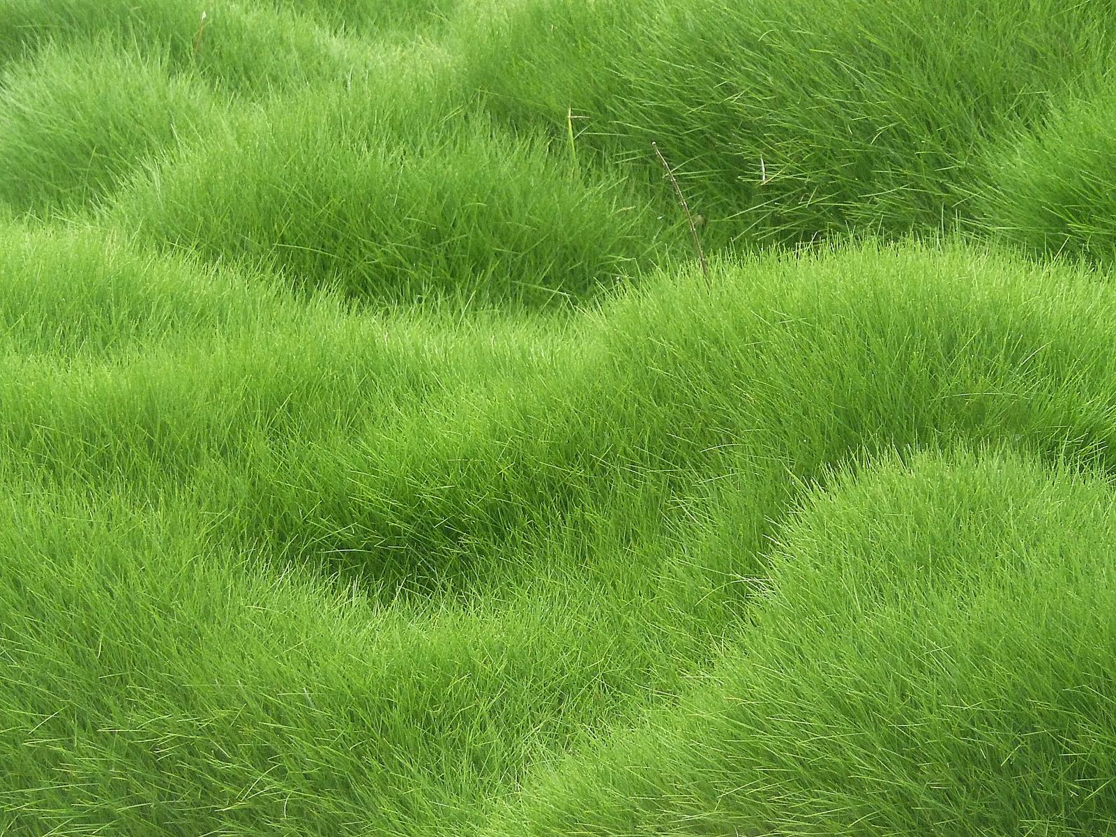 Fond d'écran : herbe, champ, vert, texture, fleur, prairie, plante, pâturage, Prairie, pelouse ...