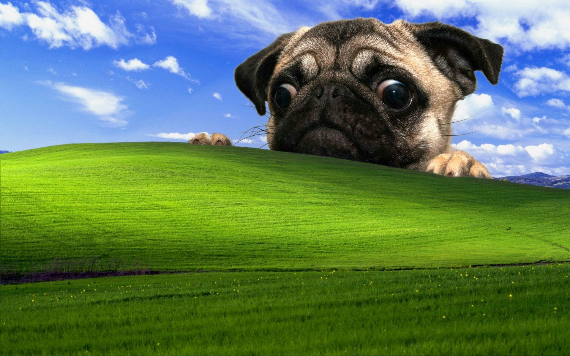 デスクトップ壁紙 緑 Windows Xp パグ 花 草原 脊椎動物