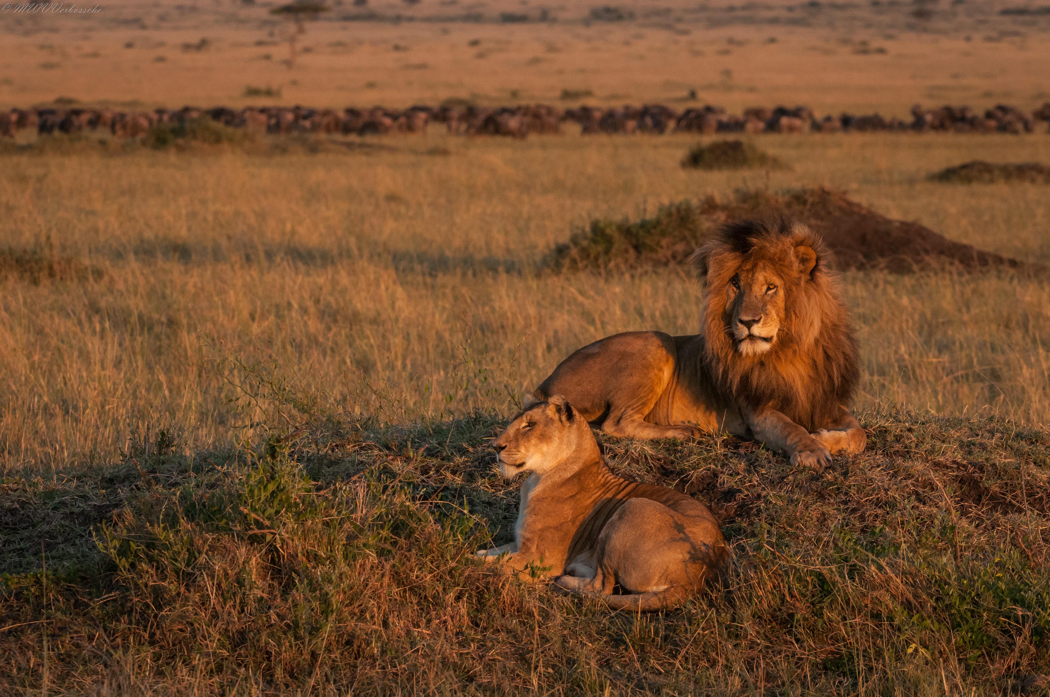 Sfondi erba leone triangolo parco nazionale grandi for Sfondi leone
