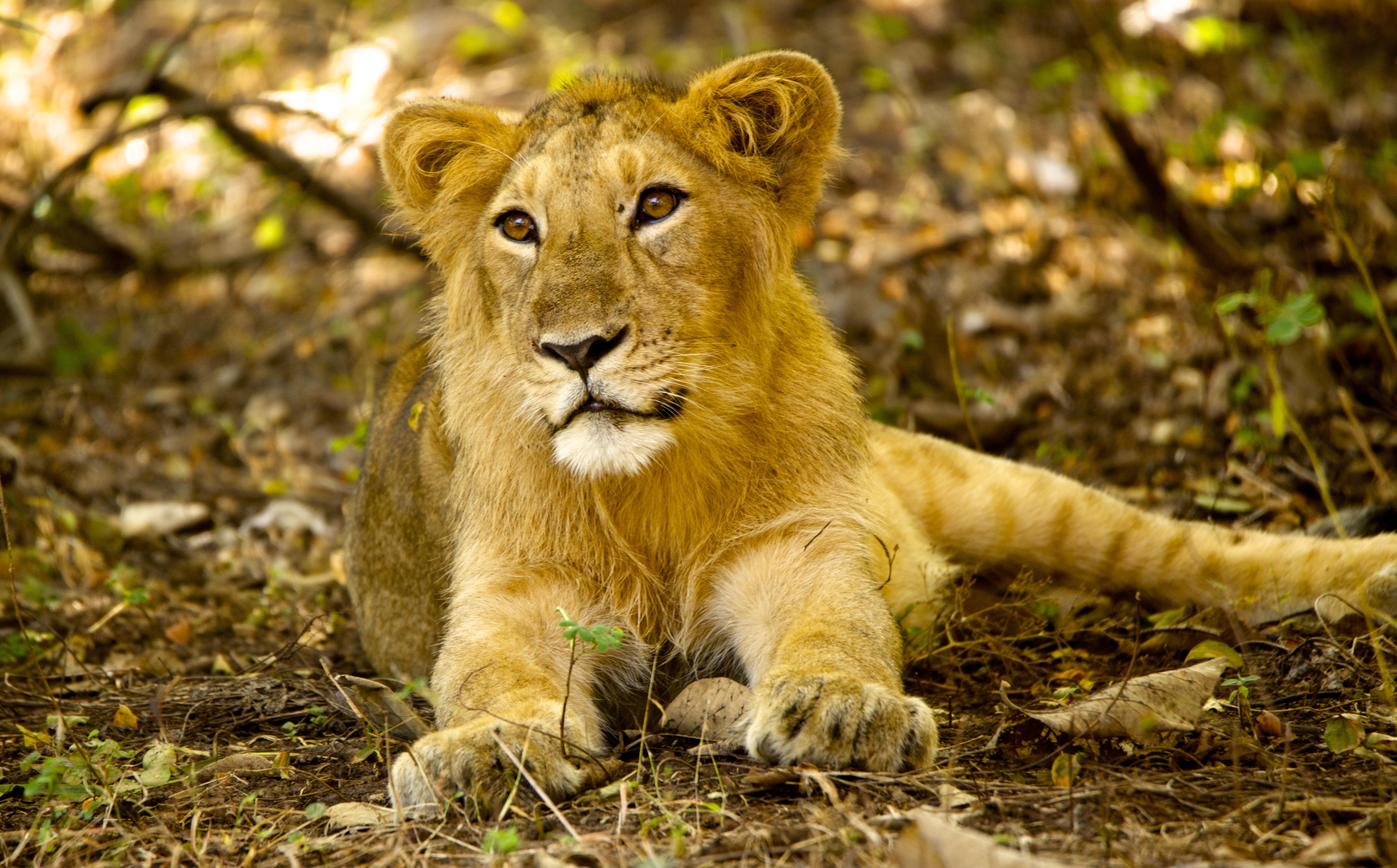 Sfondi erba leone grandi gatti natura selvaggia for Sfondi leone