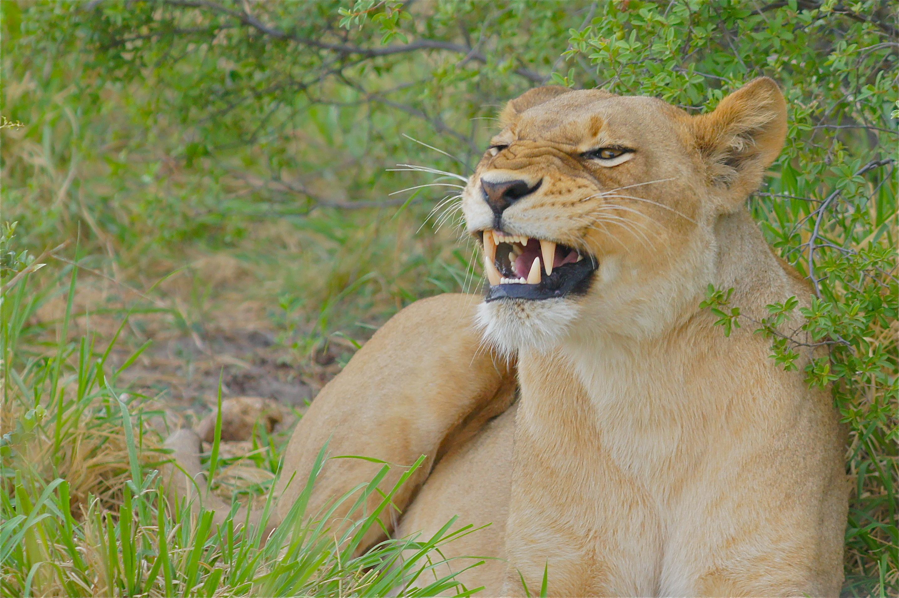 Sfondi erba leone pelliccia grandi gatti zoo natura for Sfondi leone
