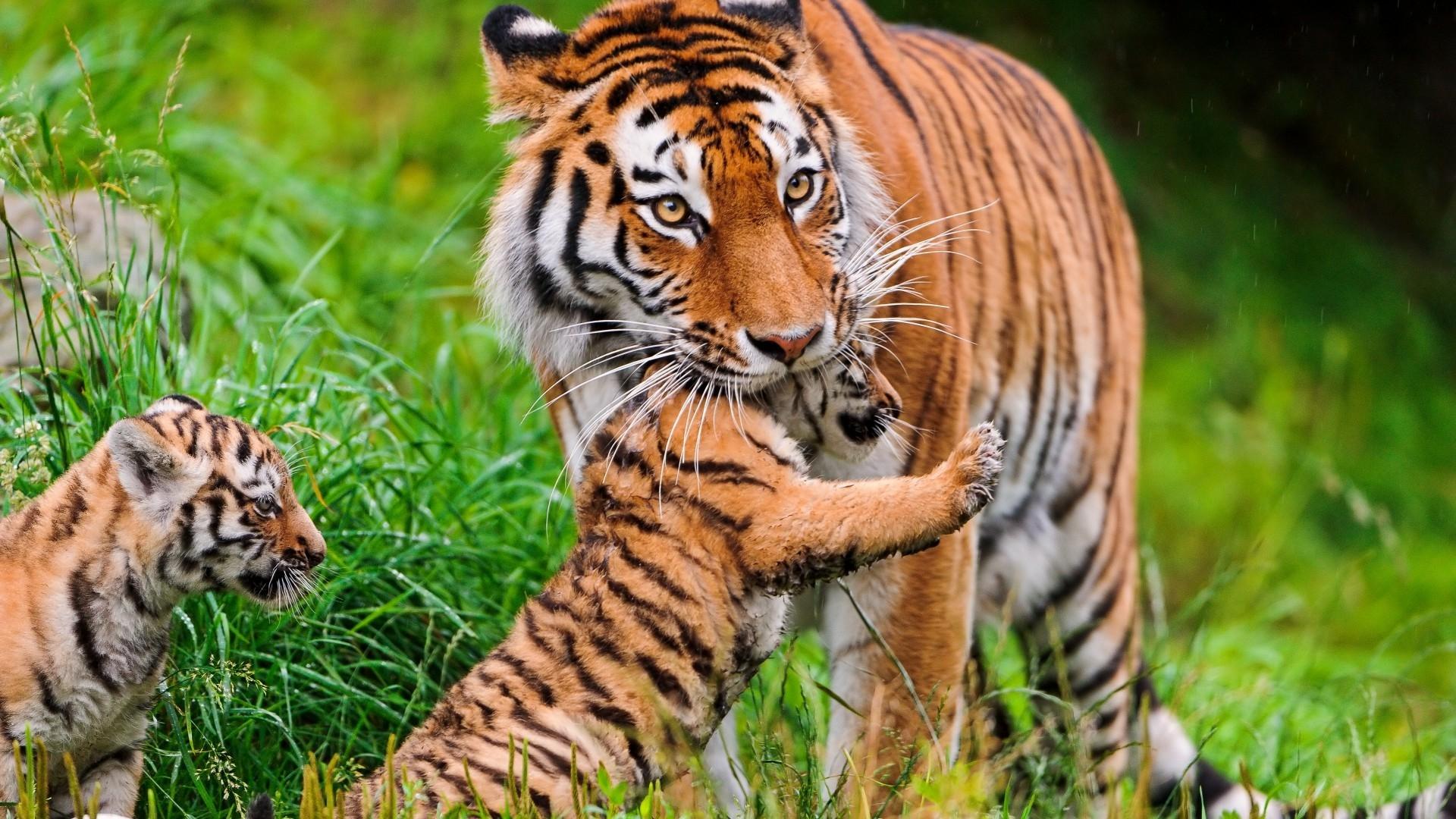 wallpaper : grass, tiger, wildlife, big cats, jungle, cubs, fauna