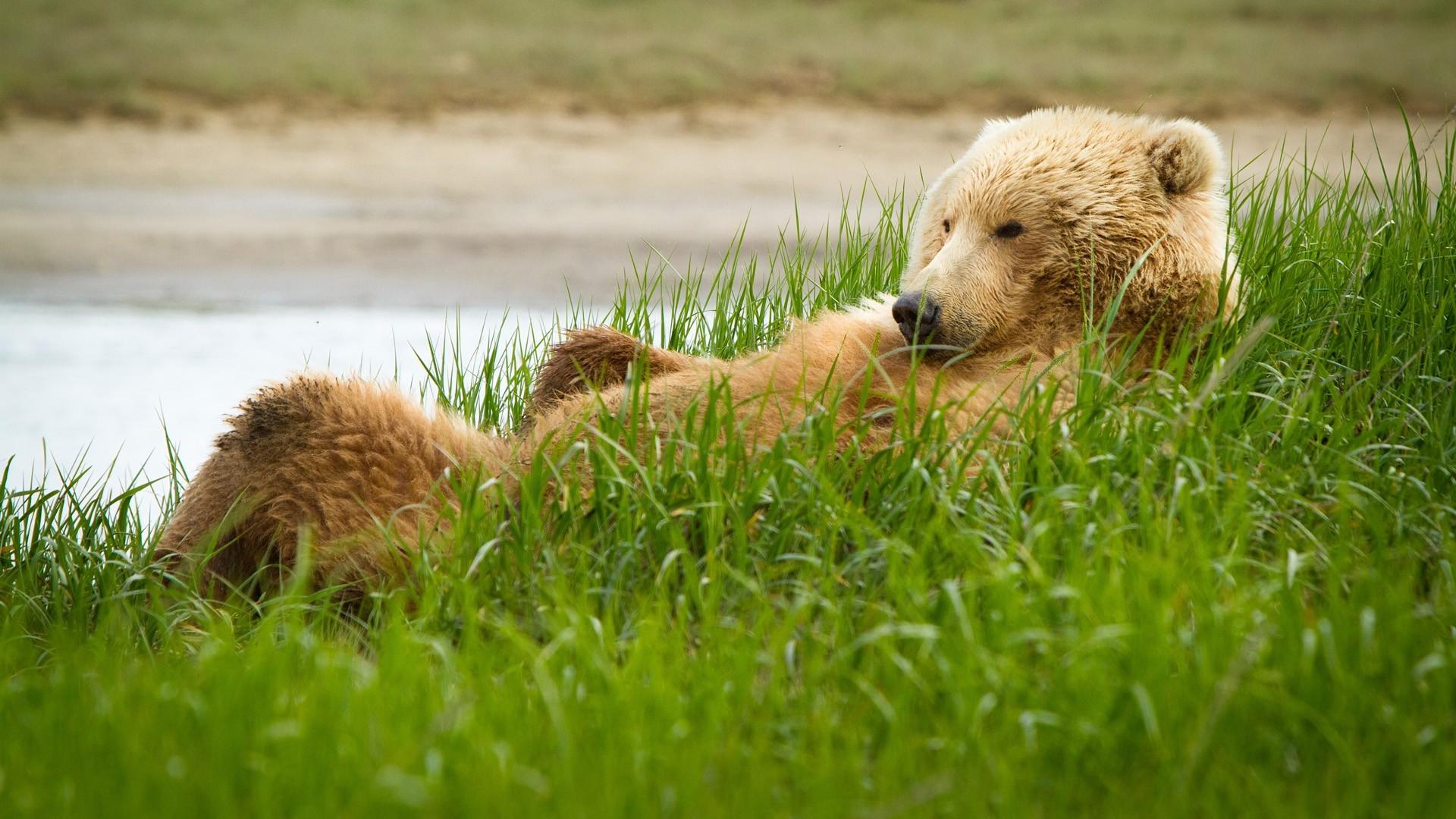 Grass Wildlife Grizzly Bear Brown Lie Grassland Funny Fauna Mammal Lawn Vertebrate