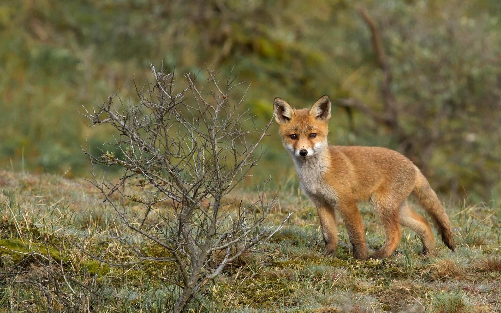 デスクトップ壁紙 : 野生動物, 狐, コヨーテ, グレイフォックス ...