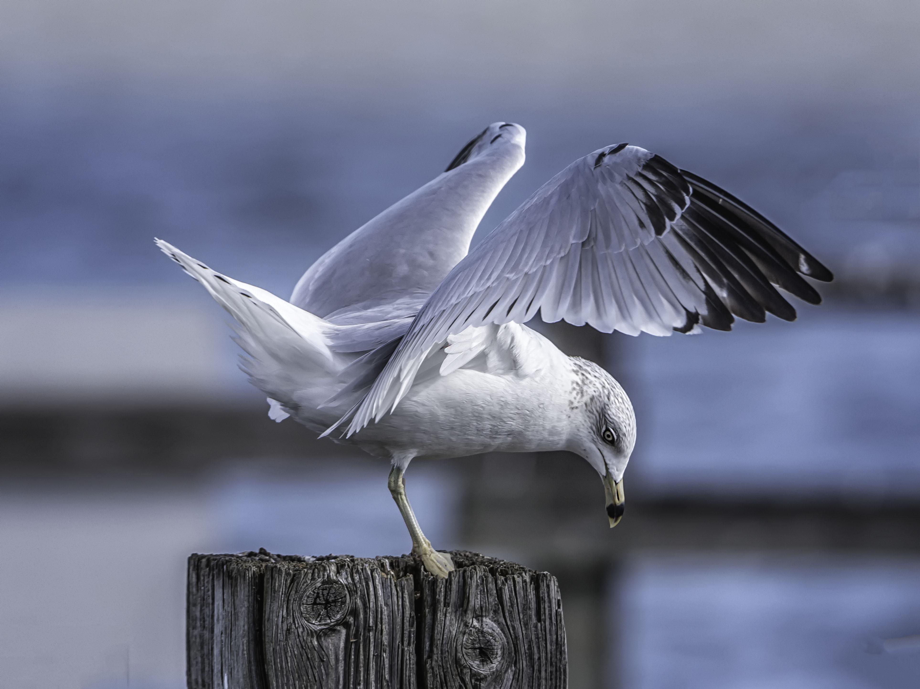 Hintergrundbilder Möwe Vogel Landung Flügel Seebrücke