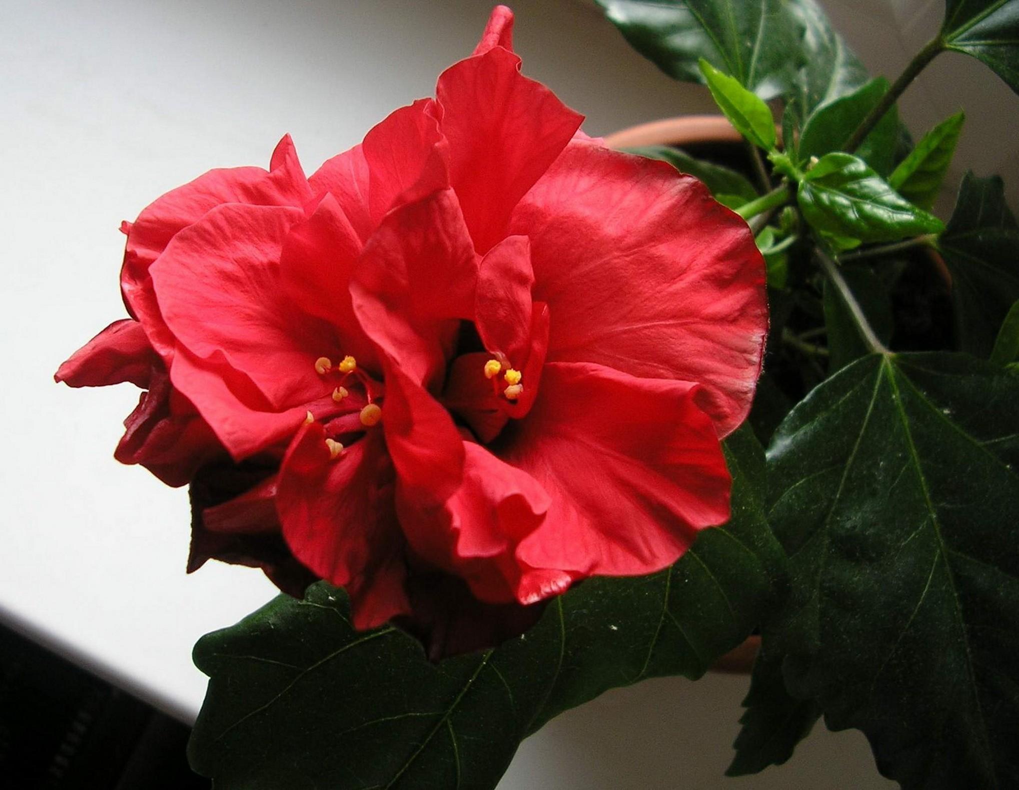 Виды китайской розы фото и названия