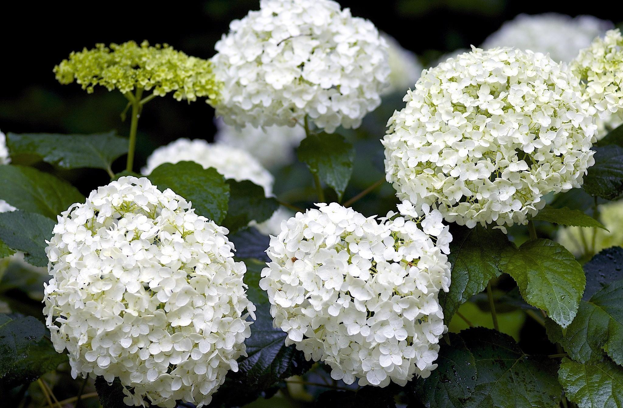 Белый цветок шариком