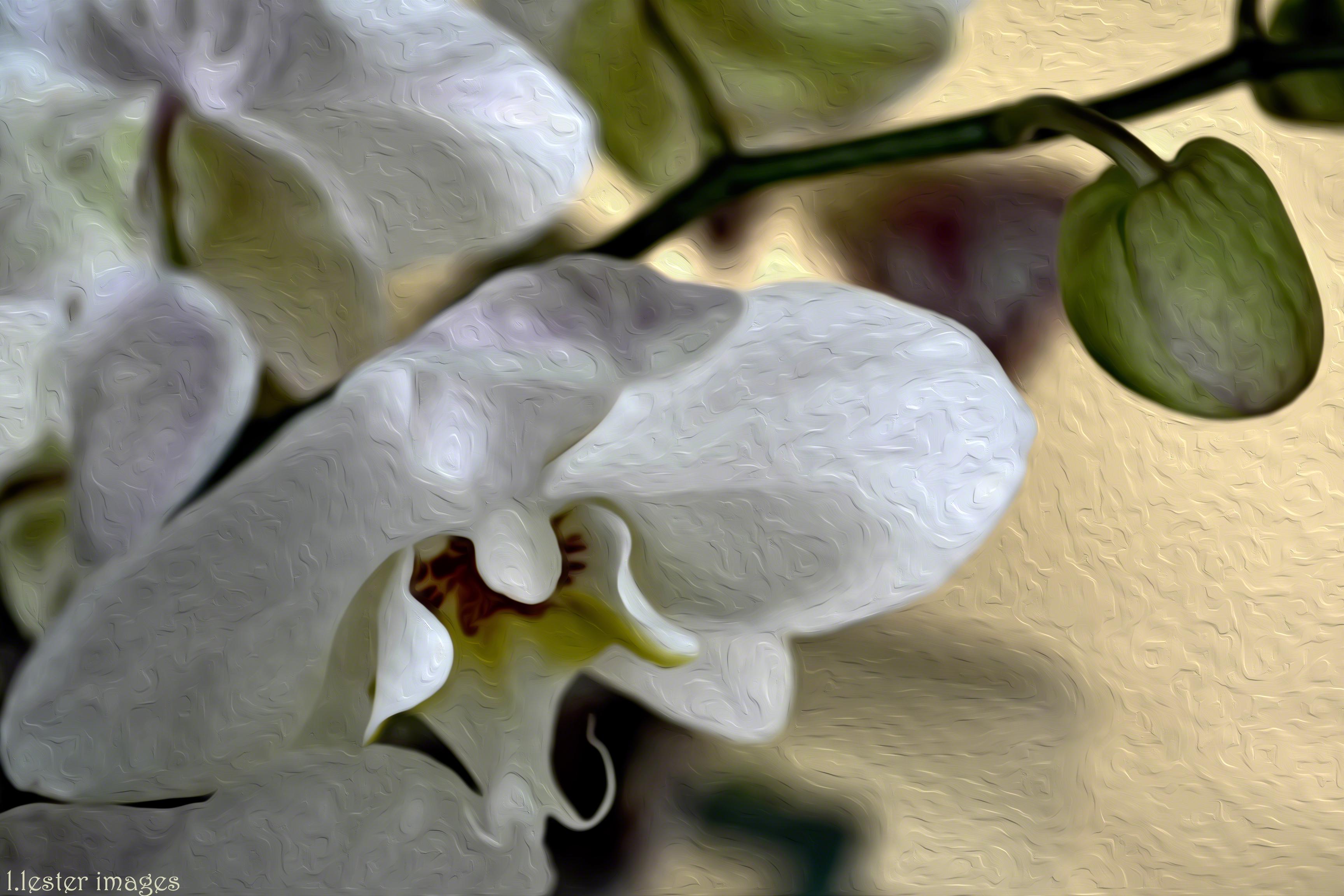 Sfondi ghiaccio orchidea bianca verde gemme giallo for Nuovo stelo orchidea