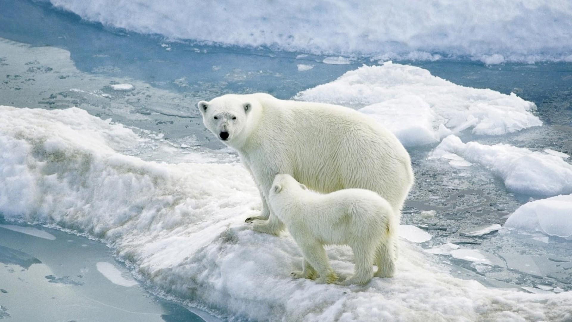 wallpaper : polar bears, baby, arctic, mammal, vertebrate, arctic