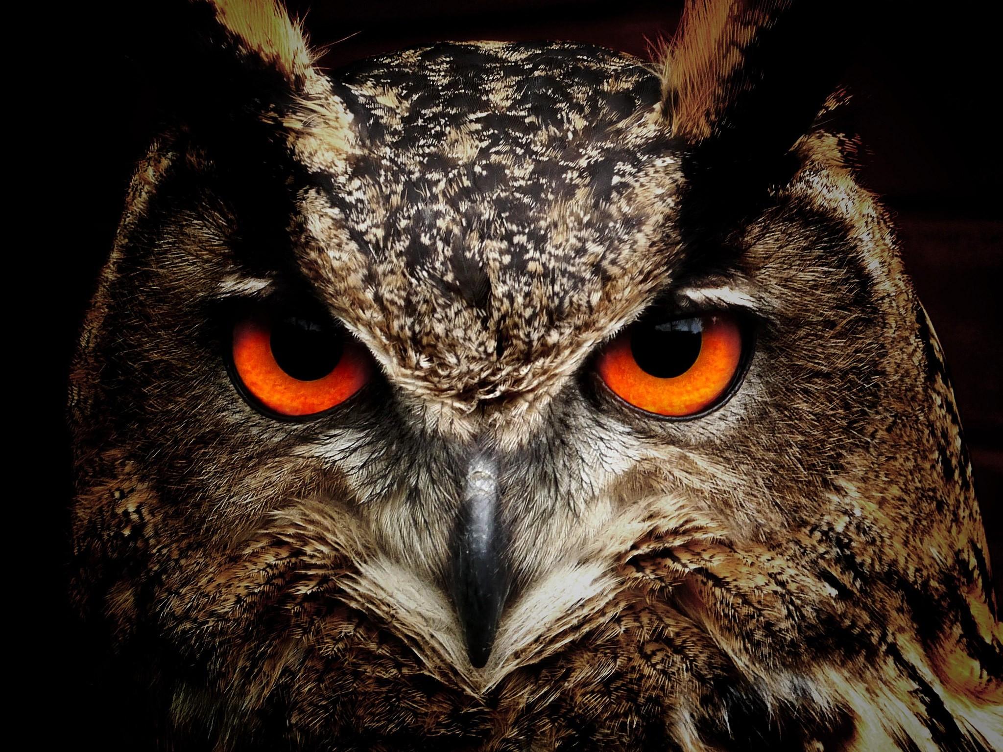 80 Koleksi Wallpaper Burung Hantu Asli HD Terbaik