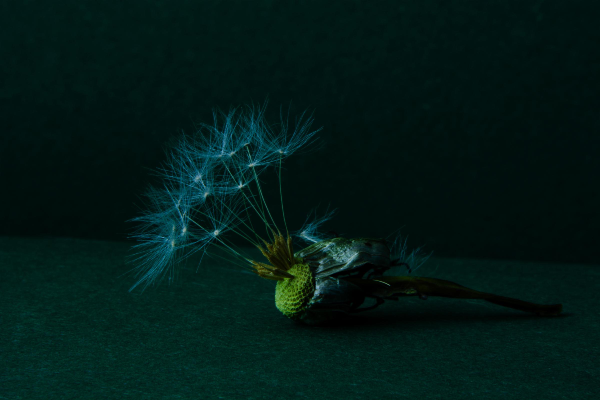 Wallpaper Jopperbok Dandelion Paardenbloem Flower