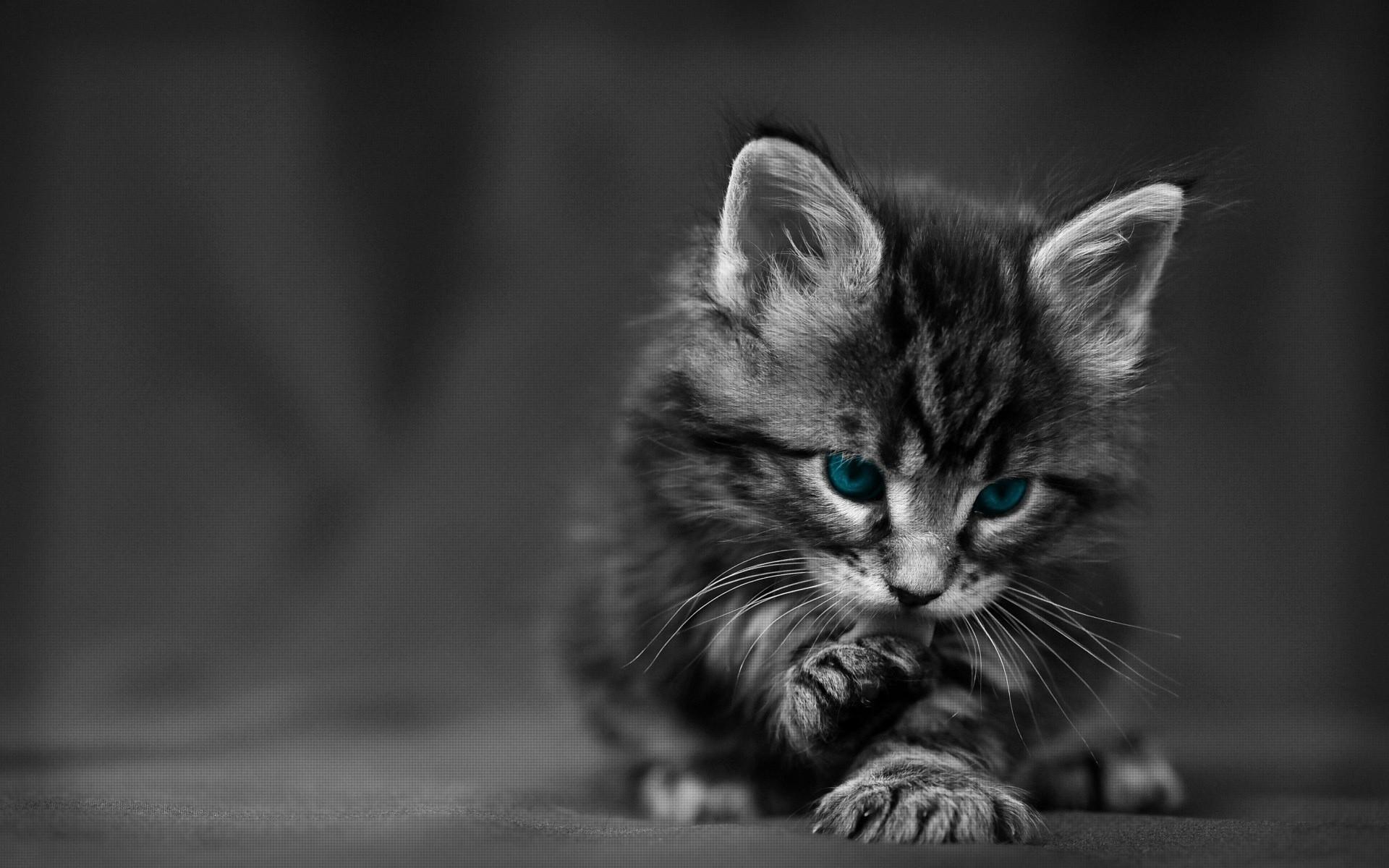 Wallpaper Kitten Blue Eyed Furry Cat Wash 1920x1200