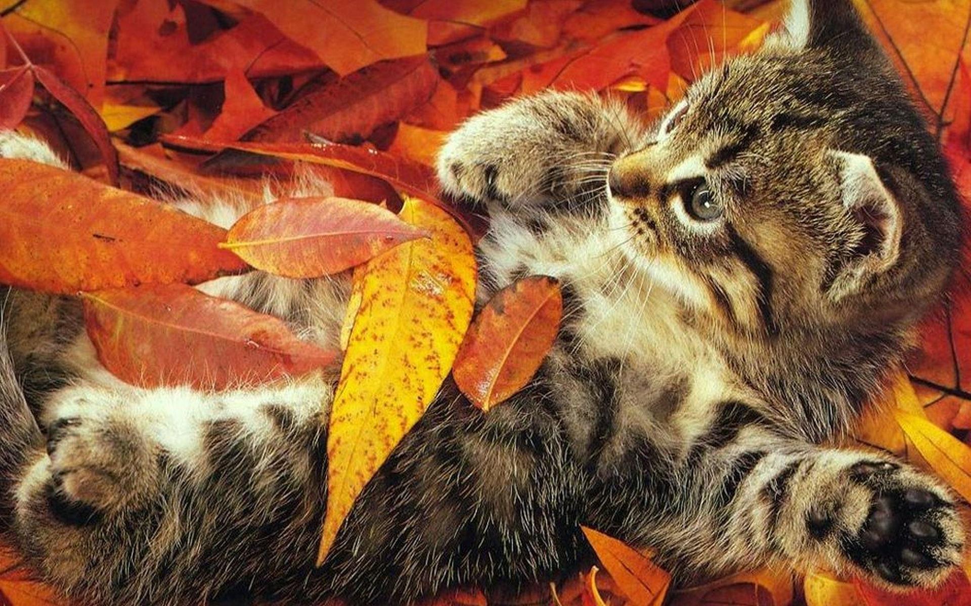 Картинки на рабочий котята осень