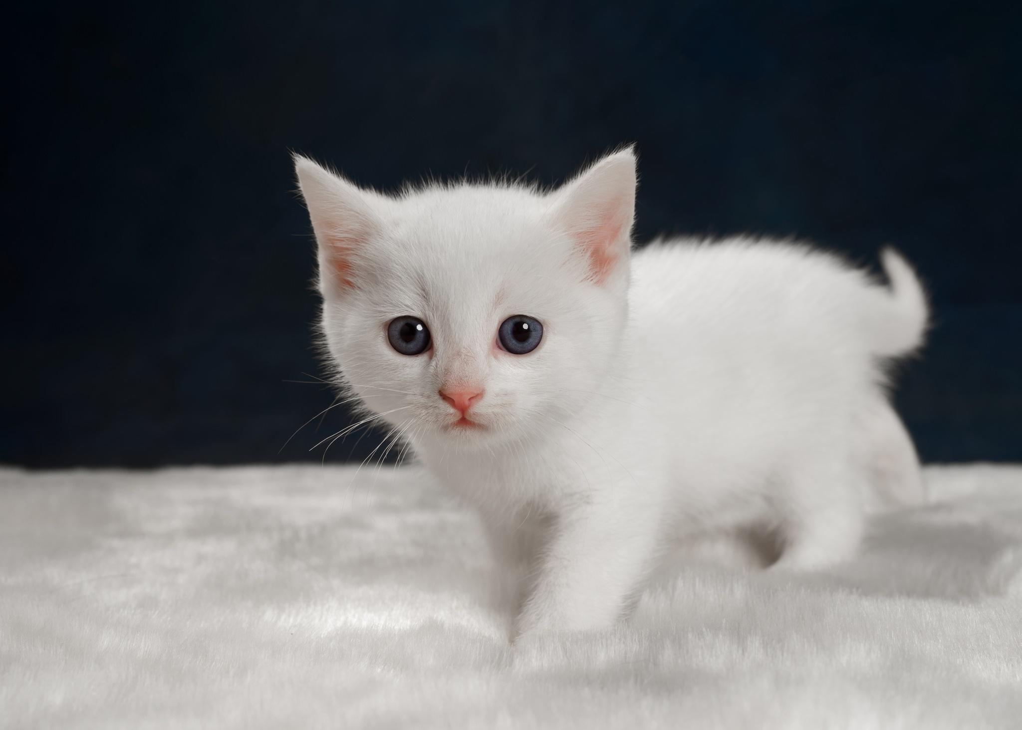 Fondos De Pantalla De Animales Bebes: Fondos De Pantalla : Gatitos, Animales Bebés, Blanco