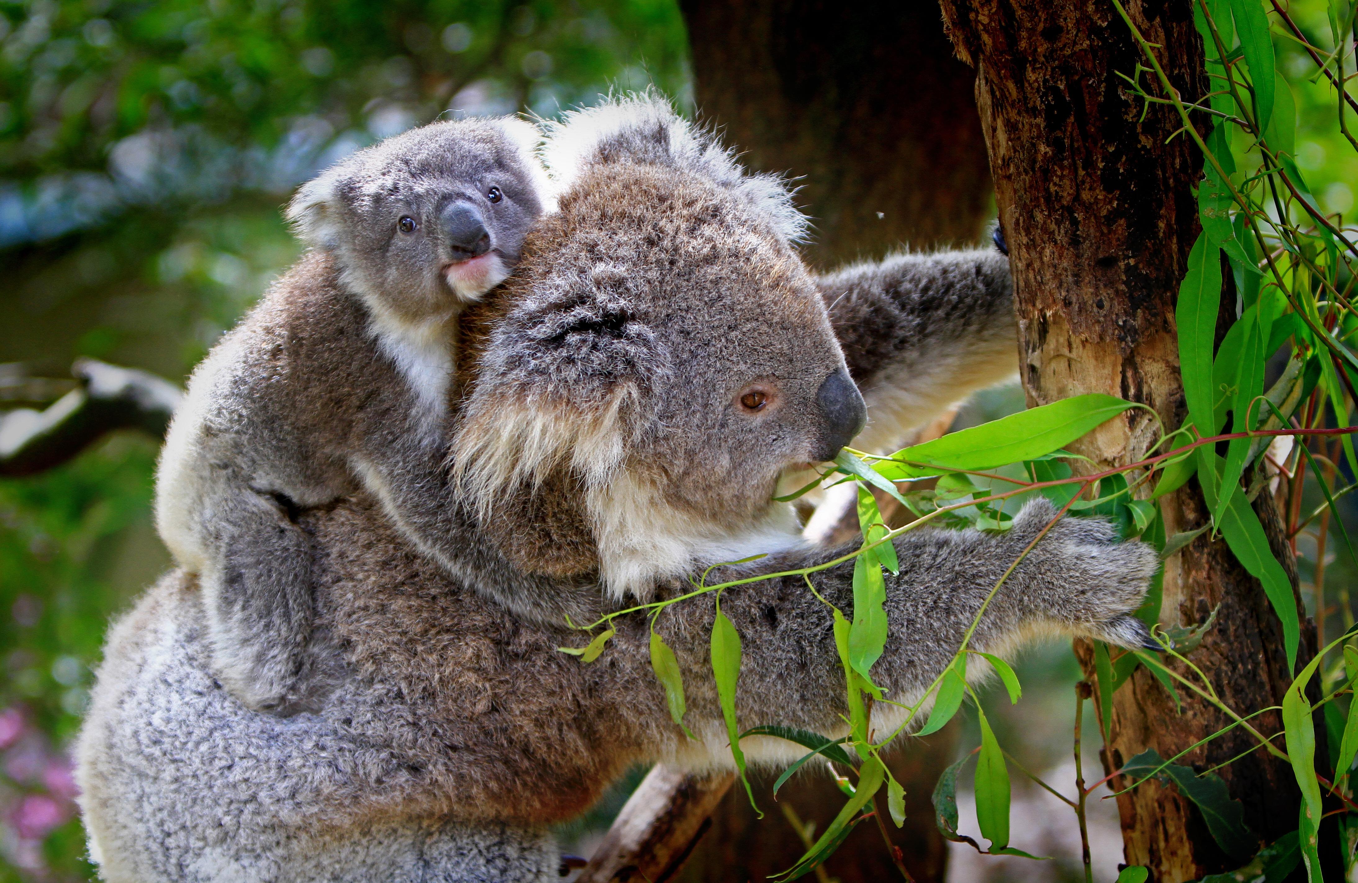 Fond D Ecran Koala Bebe Arbre Eucalyptus 4374x2844