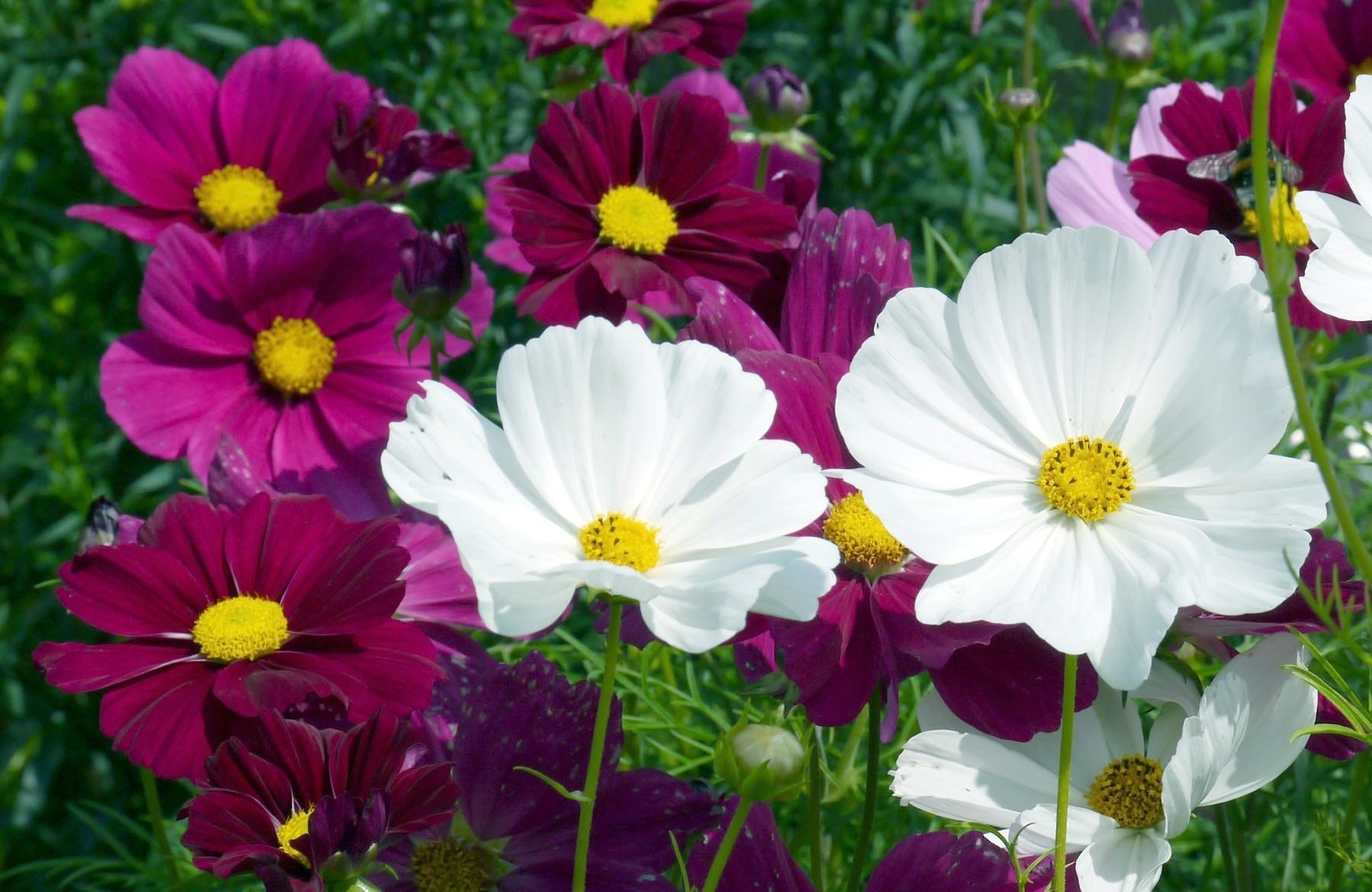 Космея, или Космос цветок: фото, выращивание и уход 41