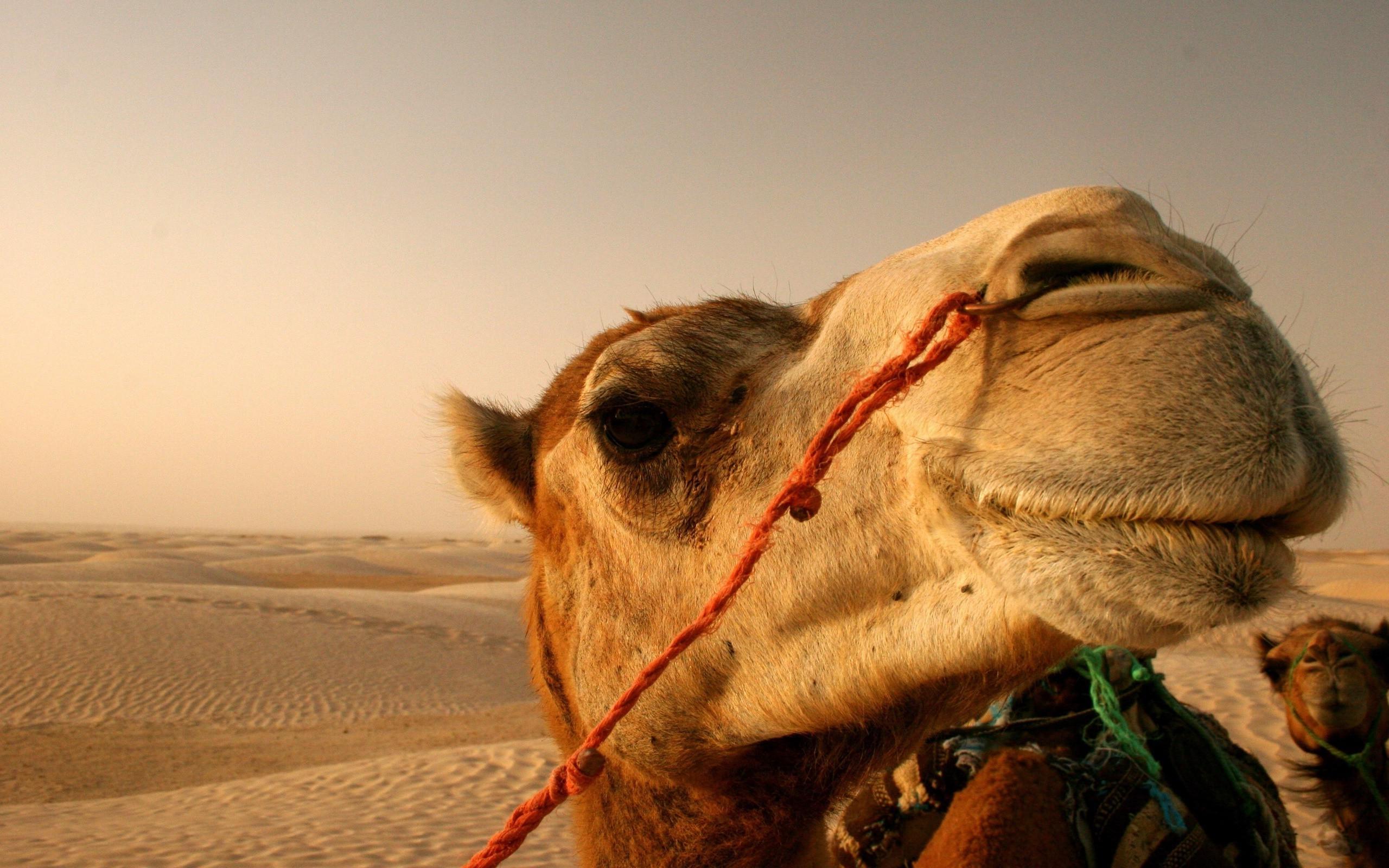Wallpaper Landscape Animals Desert Camels Sahara