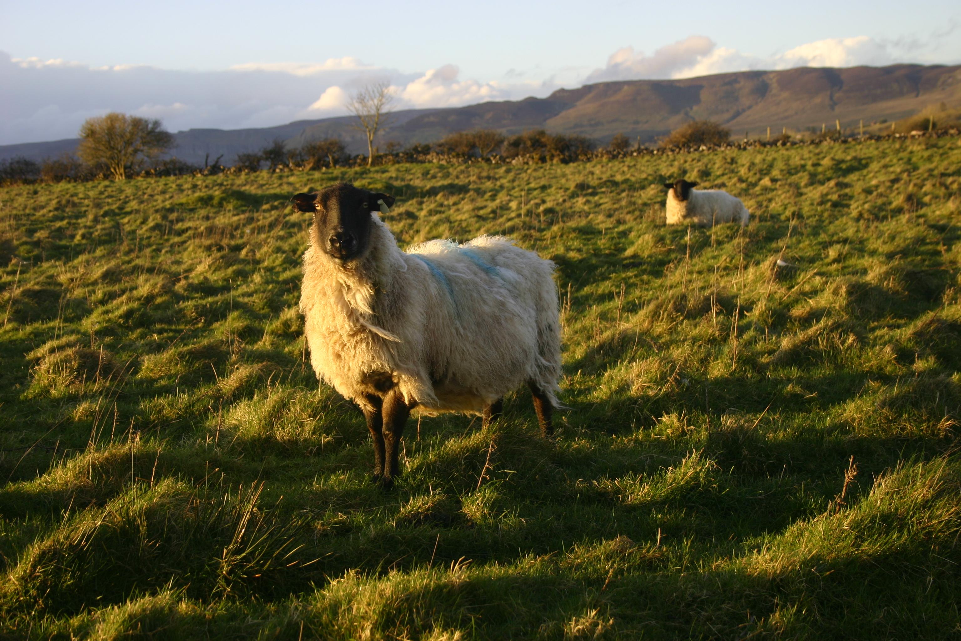 Wallpaper Landscape Animals Grass Field Green Wildlife Farm Ireland Sheep February 2017 Animal Grassland Outdoor Countryside Pasture