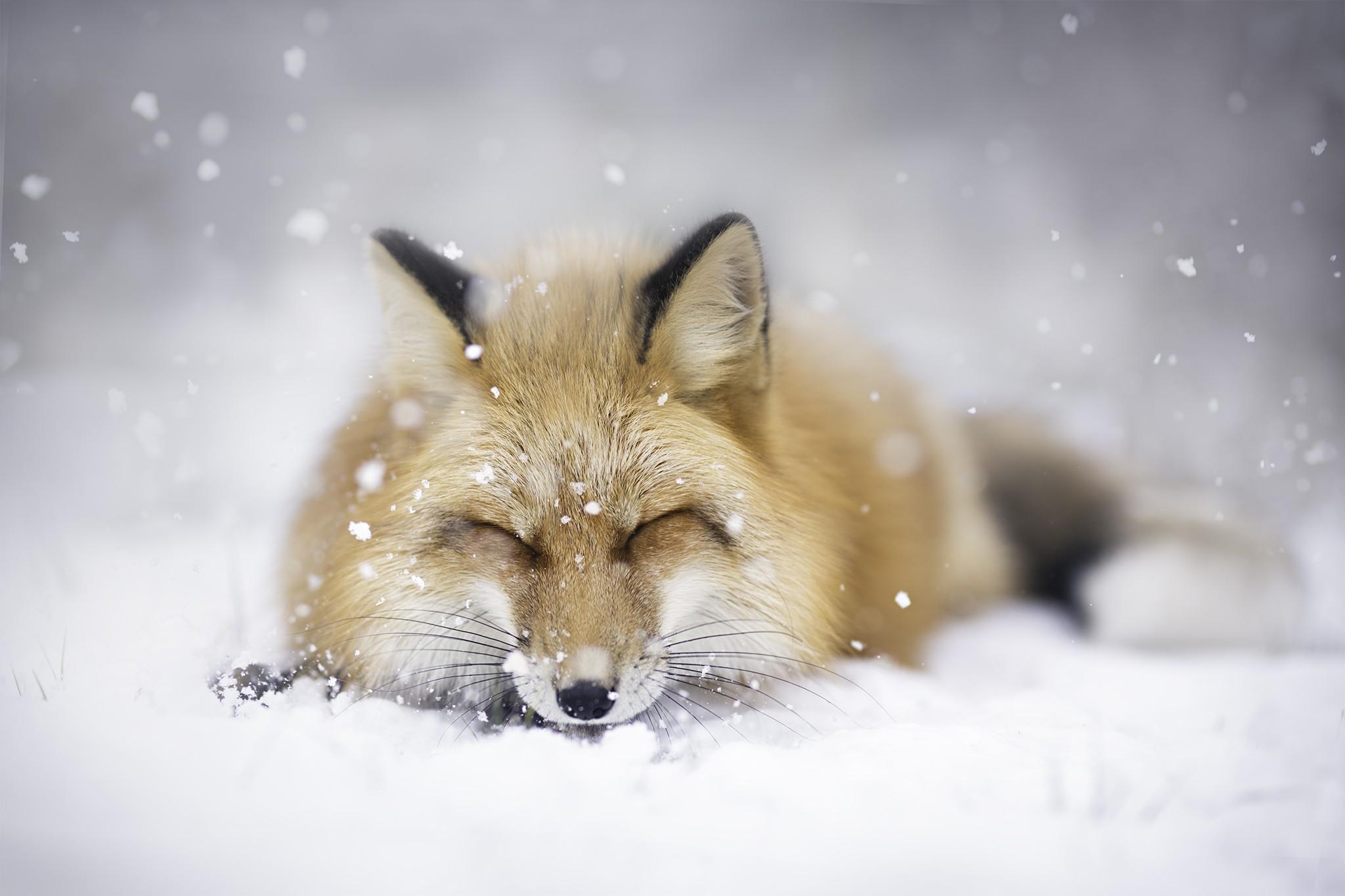 Hintergrundbilder landschaft tiere schnee winter tierwelt wolf polarfuchs fauna - Schneebilder kostenlos ...
