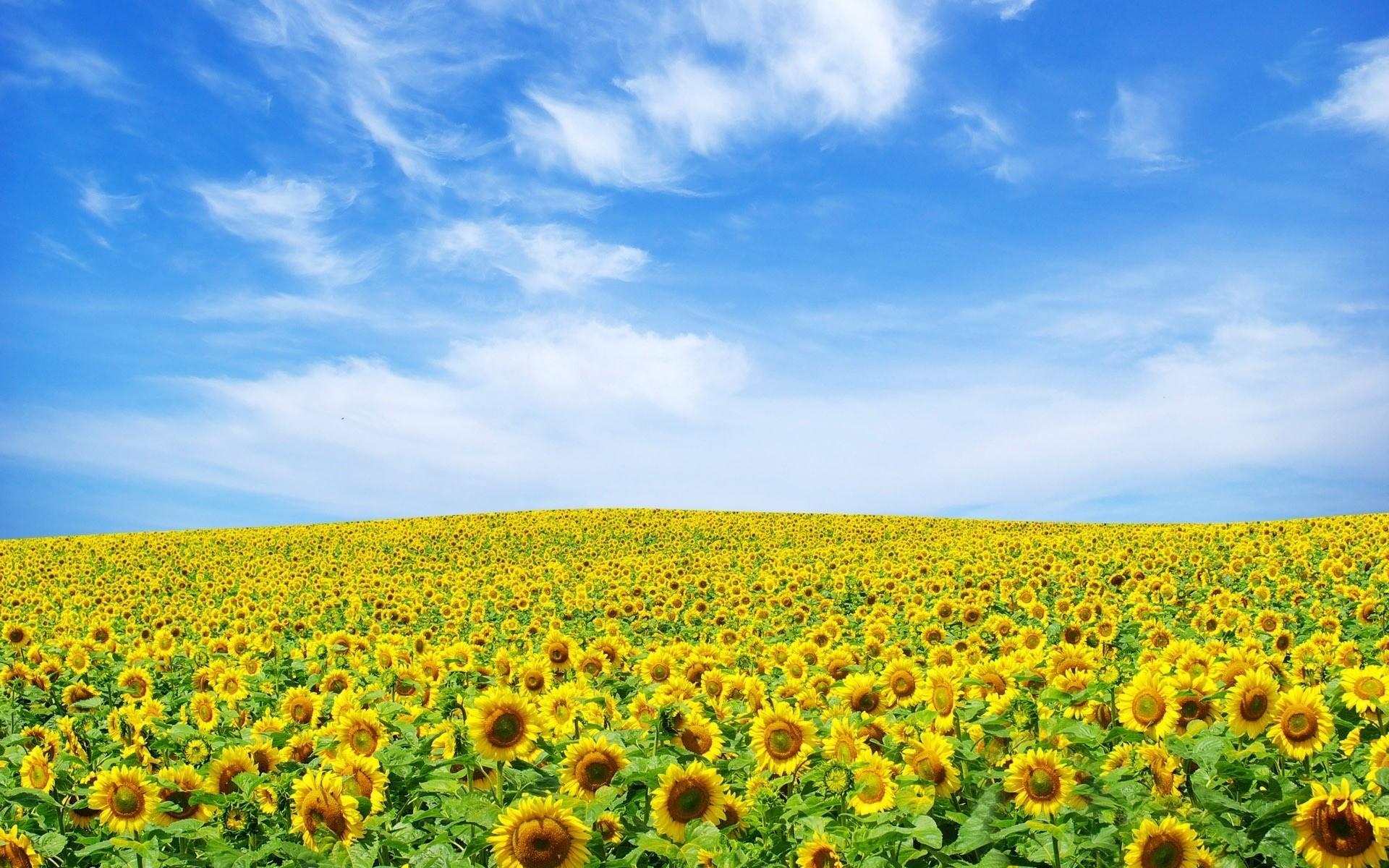 Sfondi : paesaggio, fiori, cielo, girasoli, colza, fiore ...