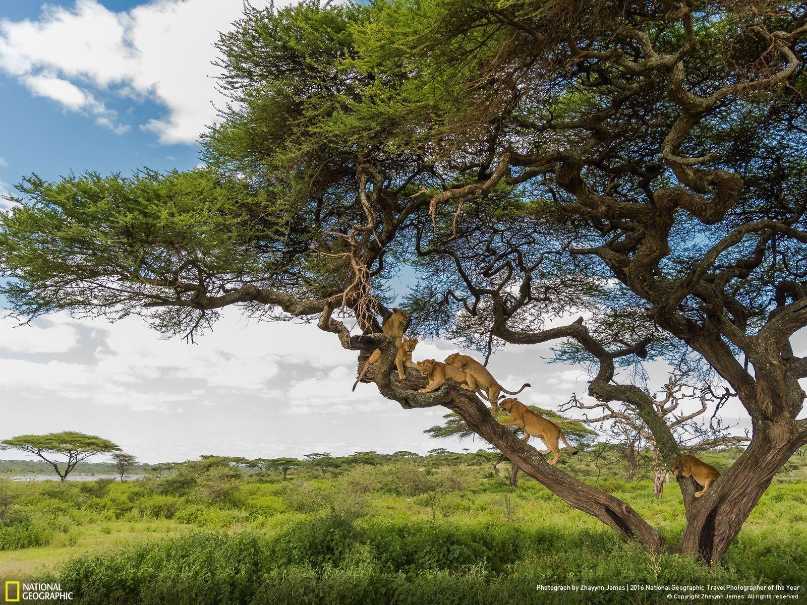 Wallpaper Landscape Animals Grass Sky Branch Lion