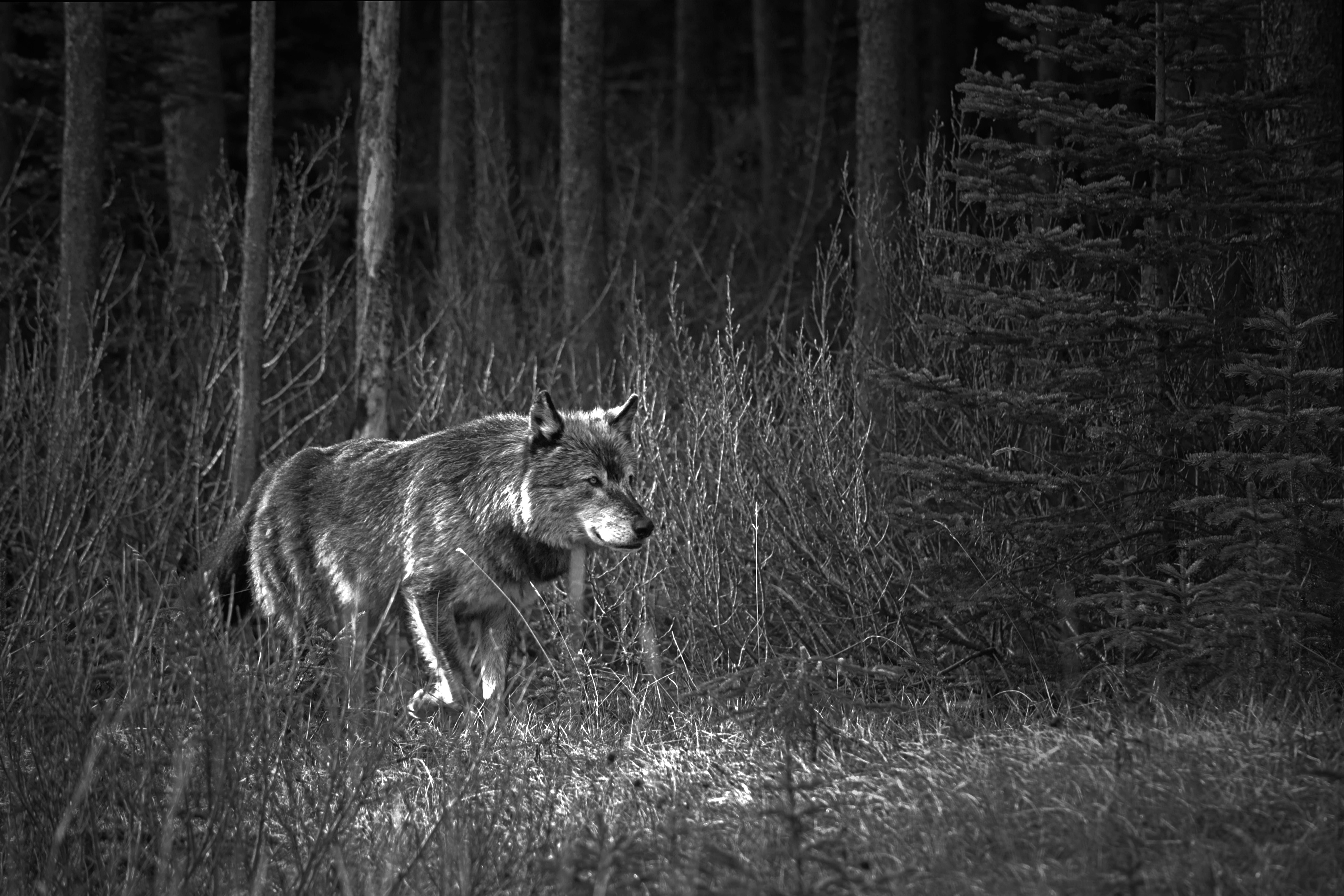 Картинки ночного леса с волком