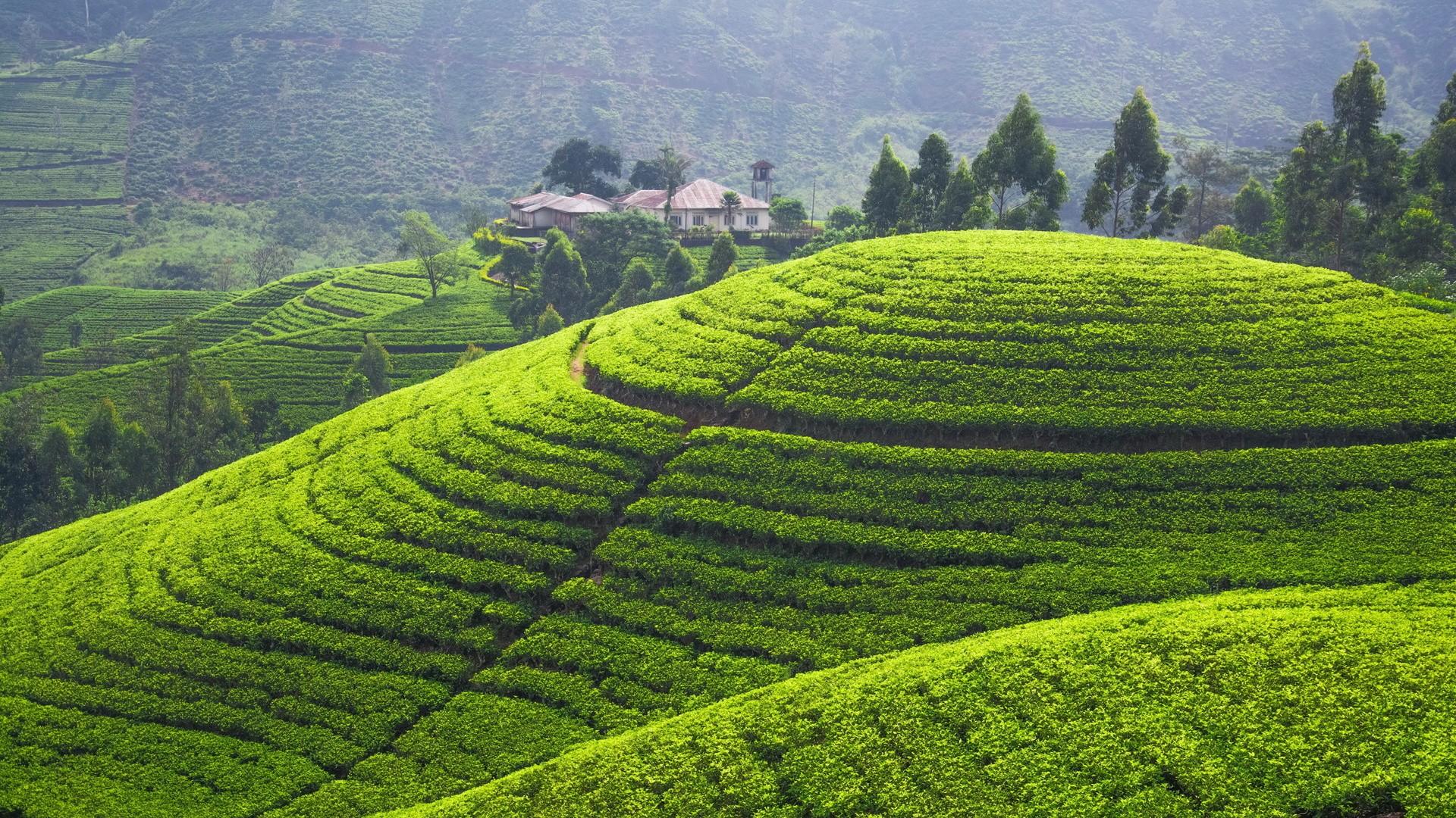 Sfondi : paesaggio, verde, colline, Sri Lanka, pianta del tè ...