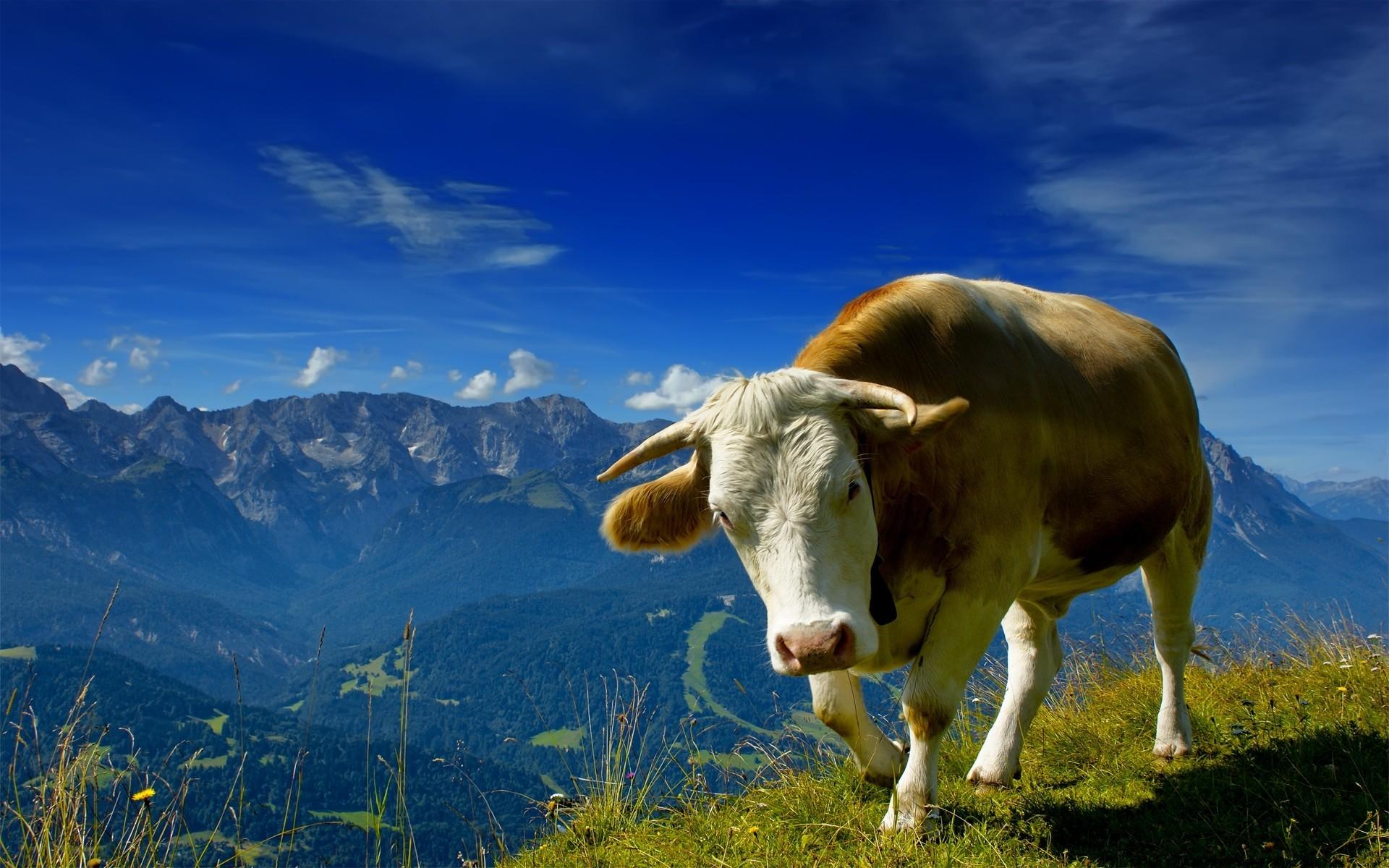 fond d 39 cran paysage montagnes animaux la nature herbe ciel champ vache r gion sauvage. Black Bedroom Furniture Sets. Home Design Ideas
